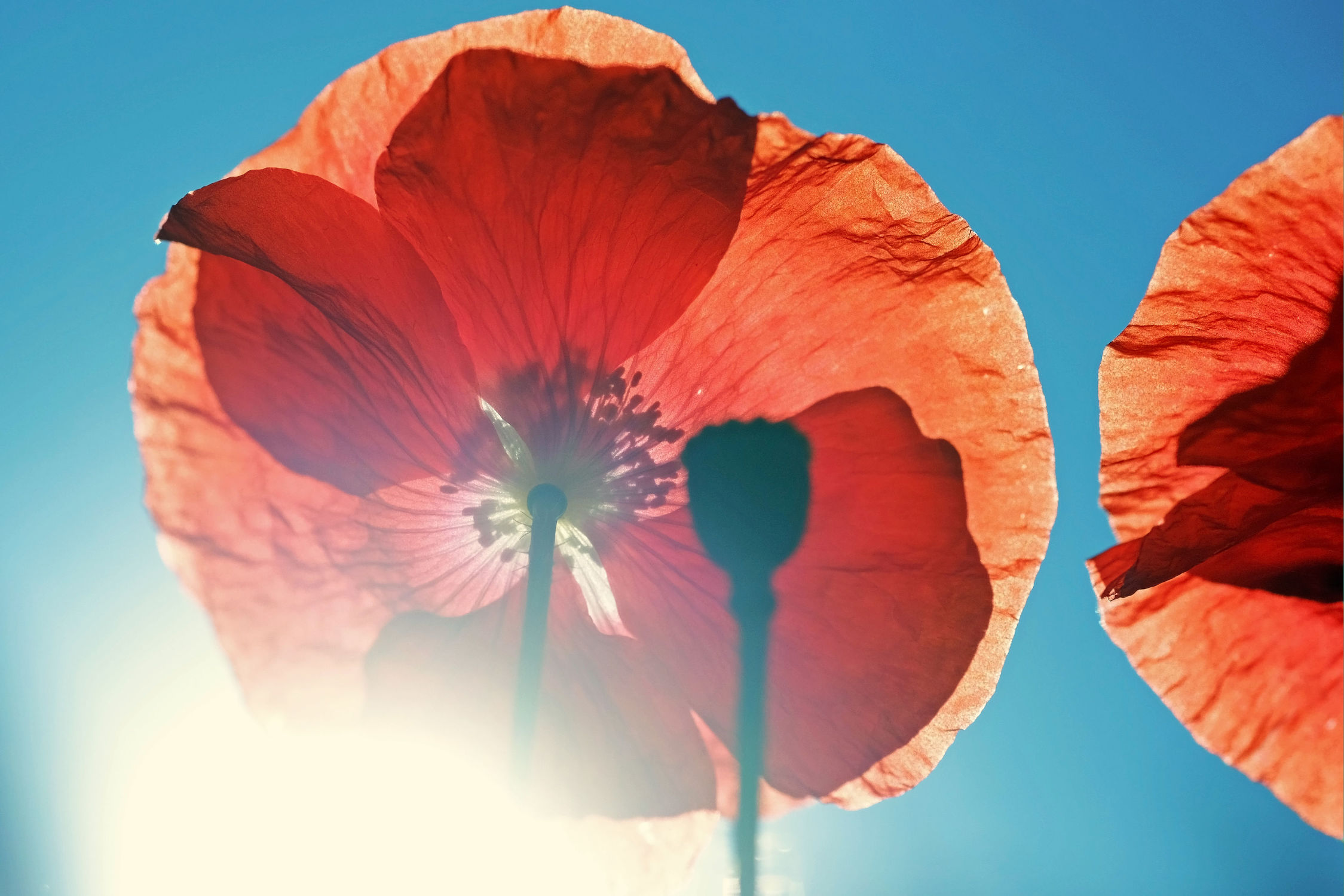 Bild mit Frühling, Frühling, Mohn, Sonne, Mohnblume, Mohnfeld, Mohnblüte, Gegenlicht, Licht, Mohnblumen, Wind, mohnblüten