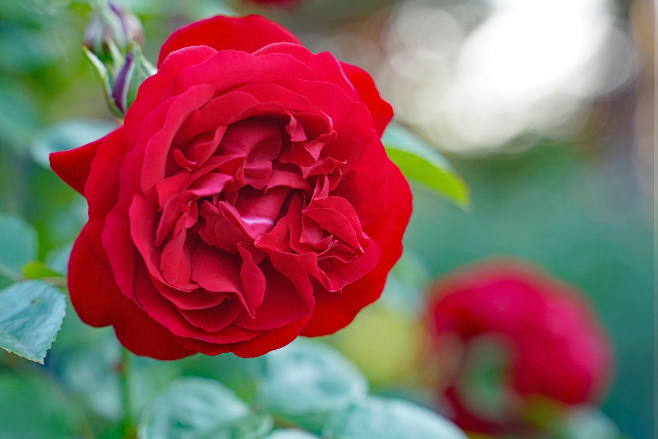 Bild mit Rot, Rose, Freundschaft, Liebe, Dunkelrot, Liebesbezeugung
