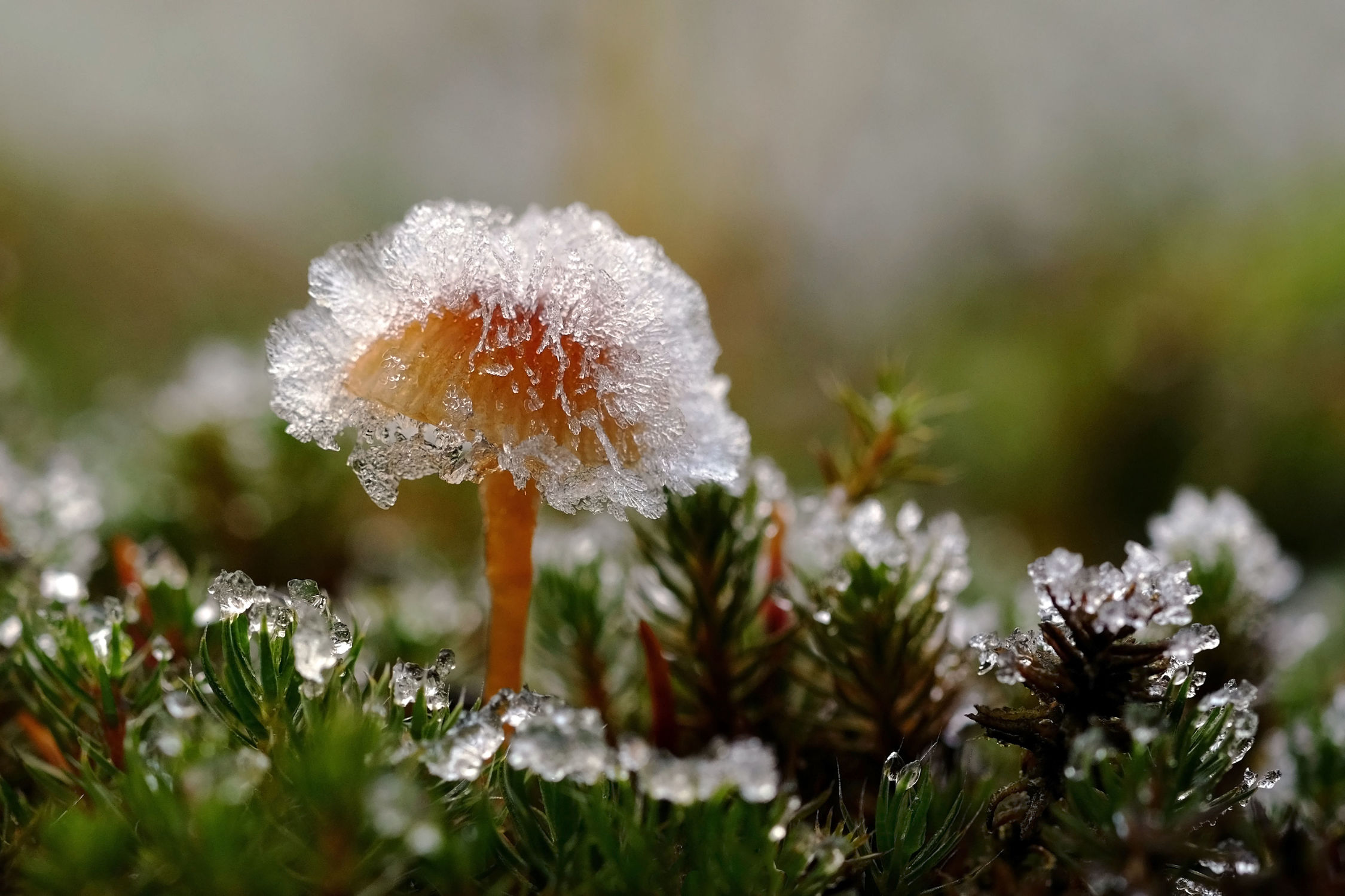 Bild mit Natur, Gräser, Winter, Wälder, Herbst, Felder, Pilze, Frost, Wiesen, Wandern, Moose, Leben, Raureif, Farne, sterben, Eiskrone, Tod, Krönung
