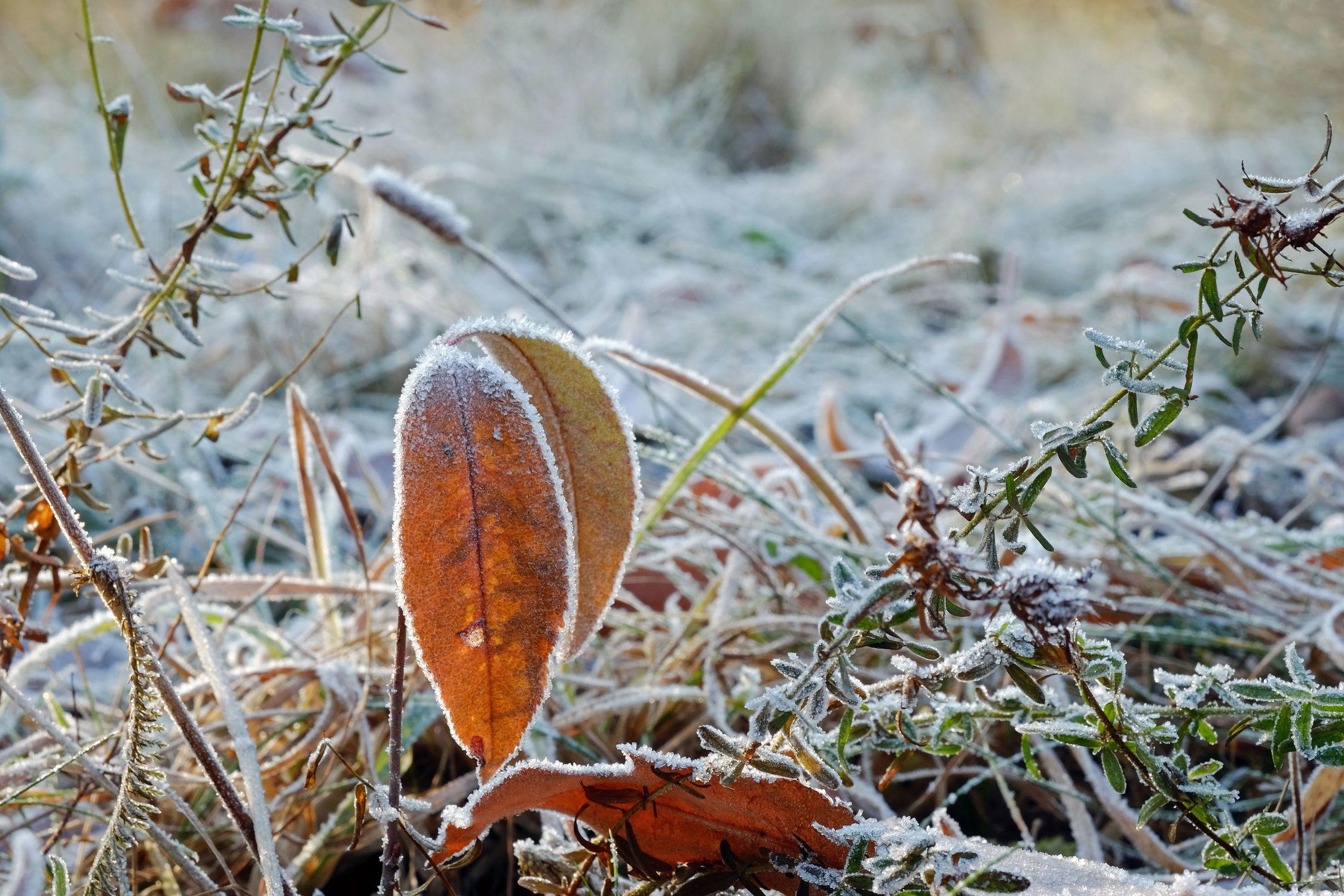 Bild mit Gräser, Winter, Eis, Gras, Blatt, Felder, Kälte, Frost, Wiesen, Wandern, Wandern, Rauhreif, Raureif, Morgenstunde