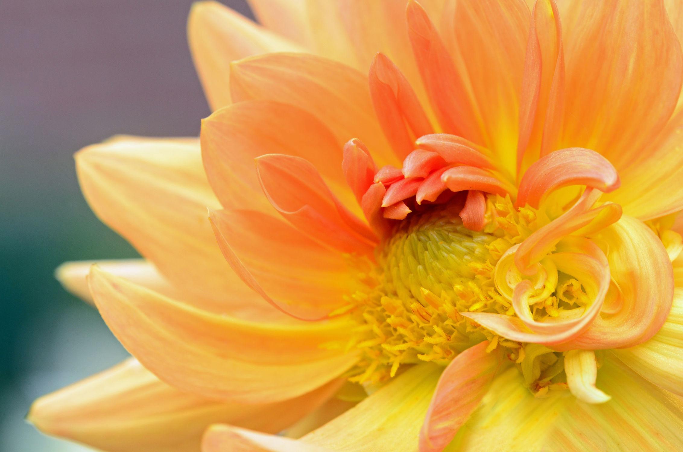Bild mit Gelb, Kunst, Natur, Blumen, Rot, Sommer, Dahlien, Blume, Schönheit, Blüten, garten, Blütenblätter, Ponpondahlien, Dahlie, Wachstum