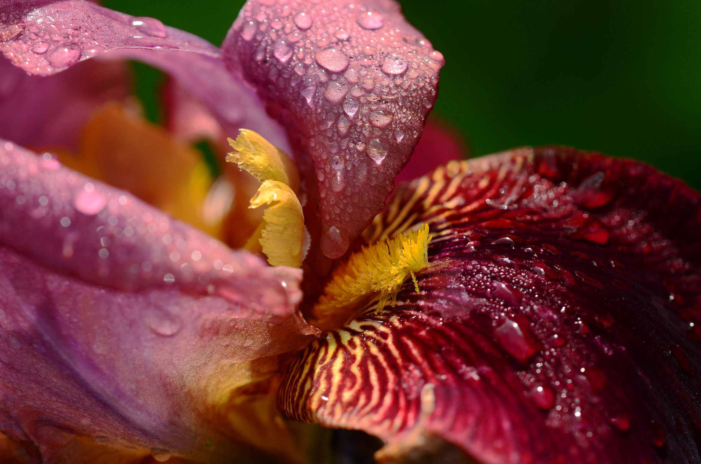 Bild mit Blumen, Frühling, Makro, garten, FARBE, FARBE, frühjahr, farbig, Morgentau, Dekoration, Morgens, Großaufnahme, Lilienblüte