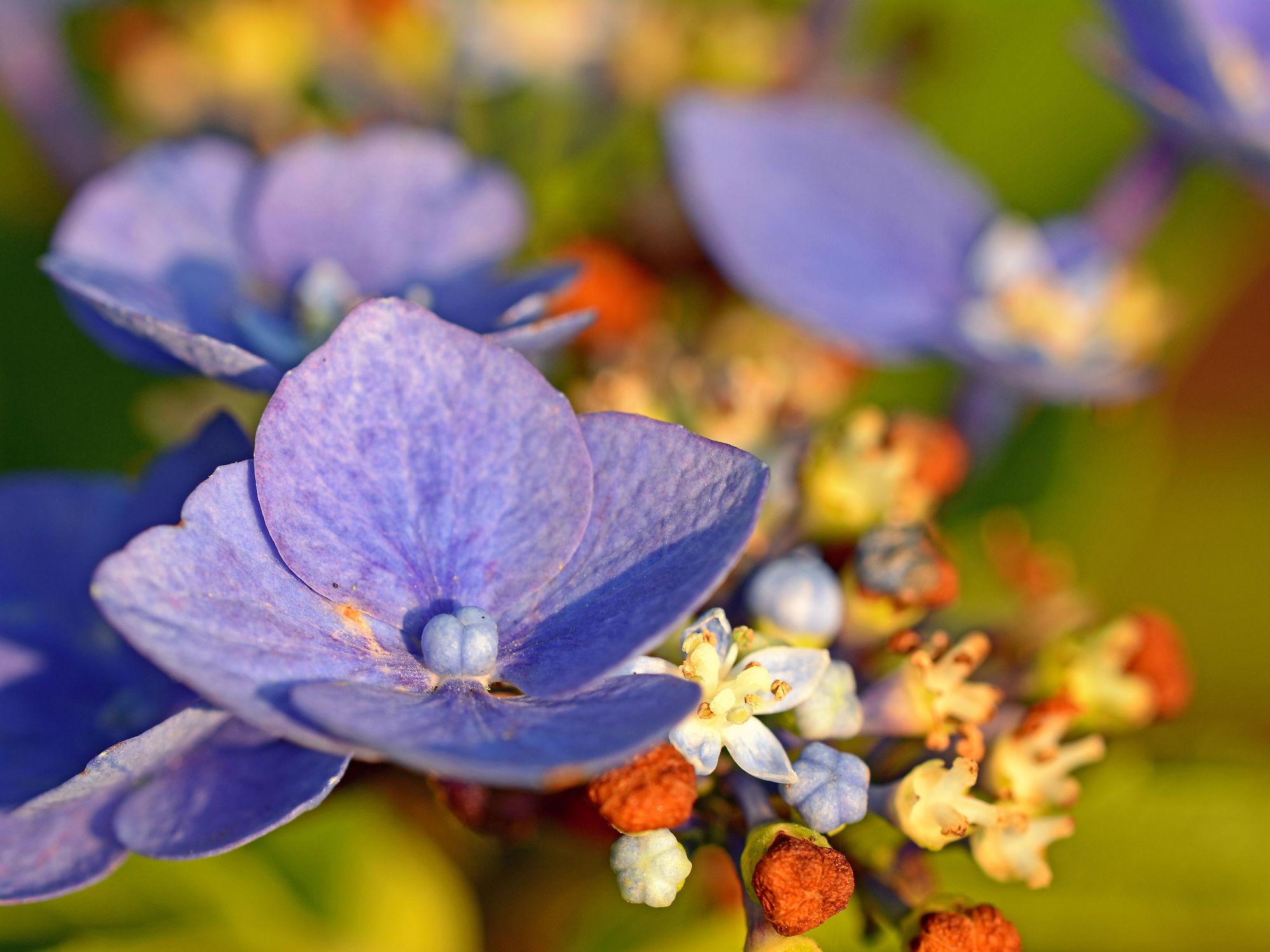 Bild mit Farben, Pflanzen, Blumen, Parks, Lila, Herbst, Blau, Sommer, Blüten, garten, Abendsonne, Hortensie, Knospen, Hortensienblüte