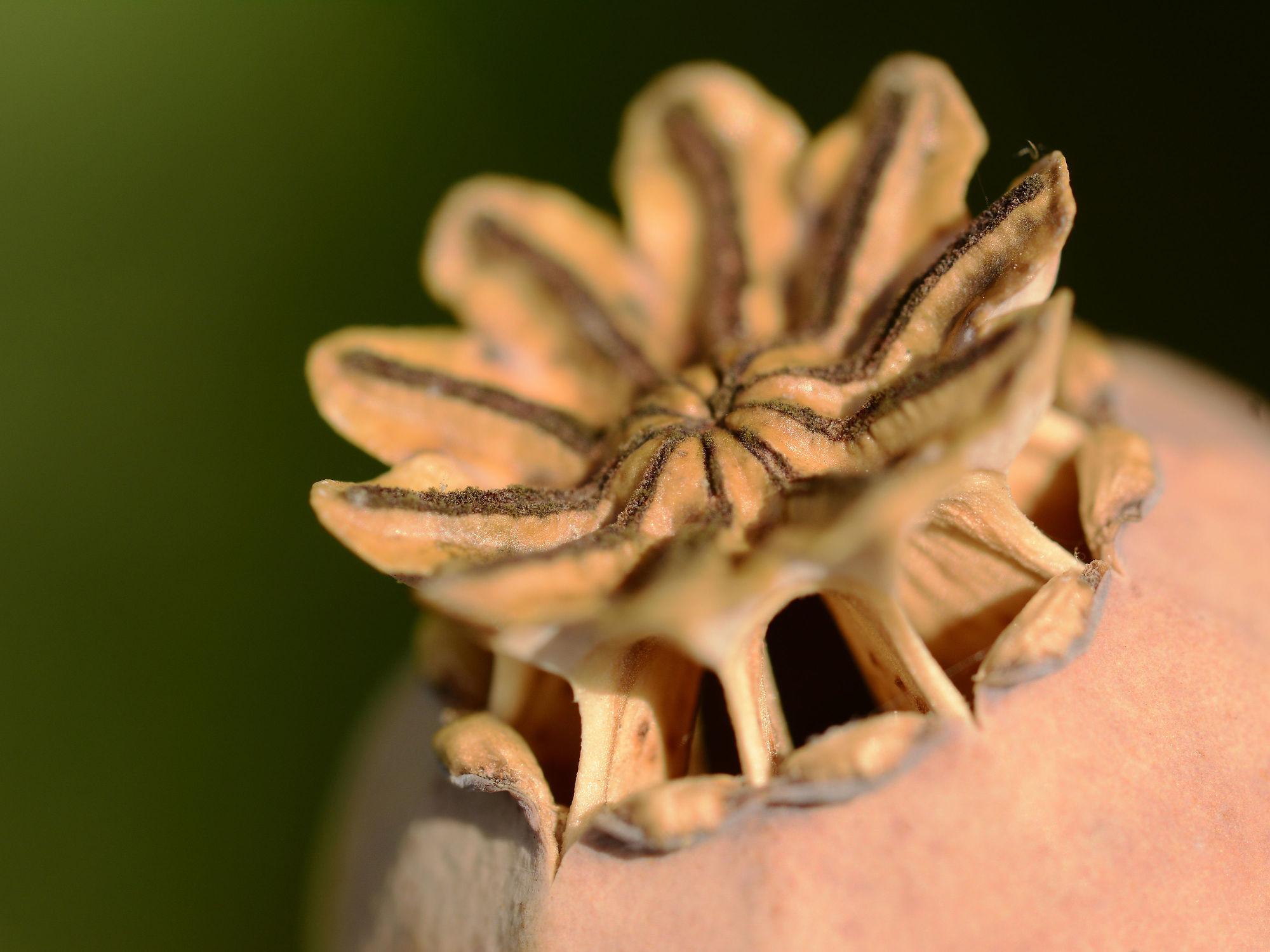 Bild mit Grün, Mohn, Braun, Makro, nahaufnahme, Samen, Mohnkapsel, Vermehrung, Reife, Rieselöffnungen