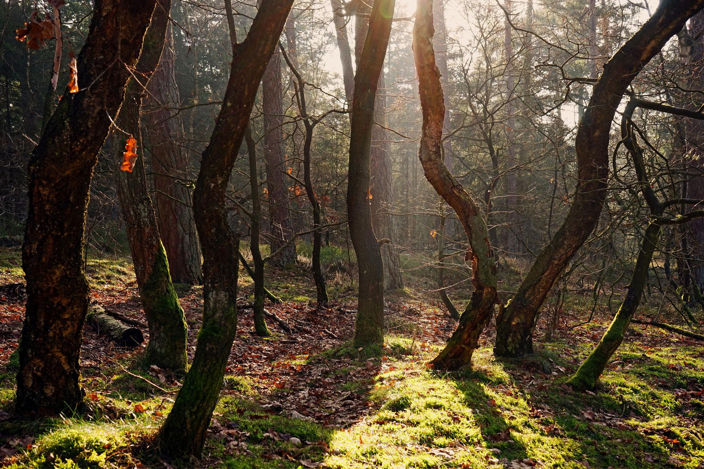 Bild mit Bäume, Wälder, Sonne, Wald, Baum, Gegenlicht, Sonnenstrahlen, Unterholz, Idylle, Baumstümpfe, Strahlen, Waldränder, Urig