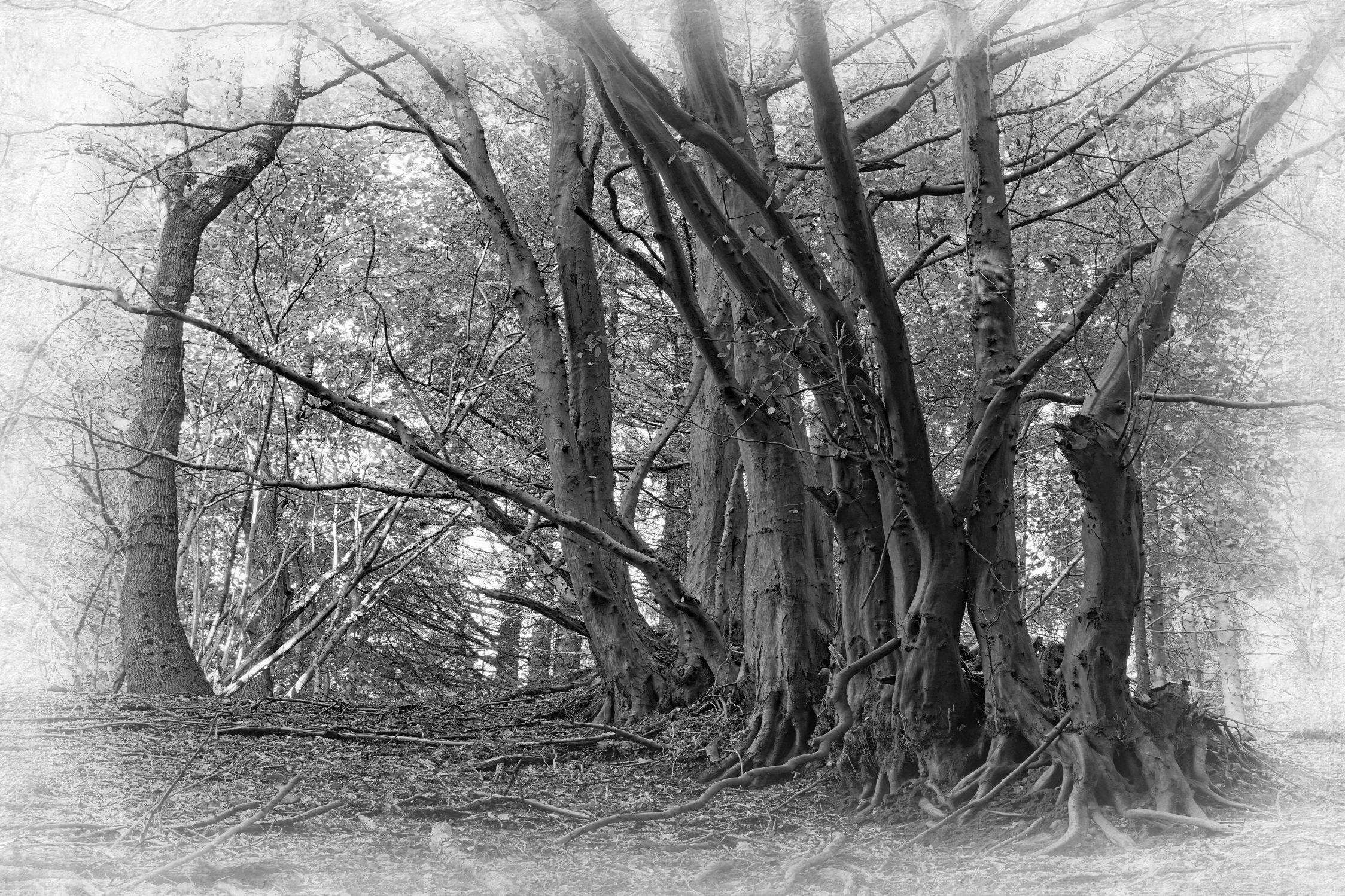 Bild mit Wald, Schwarzweiß, Baumreihe