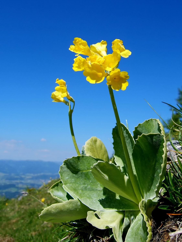 Bild mit Gelb, Himmel, Blau, Blume, Makro, Wolkenlos, Hochgebirge, Weiter Blick, Aurikel, Primus_auricula