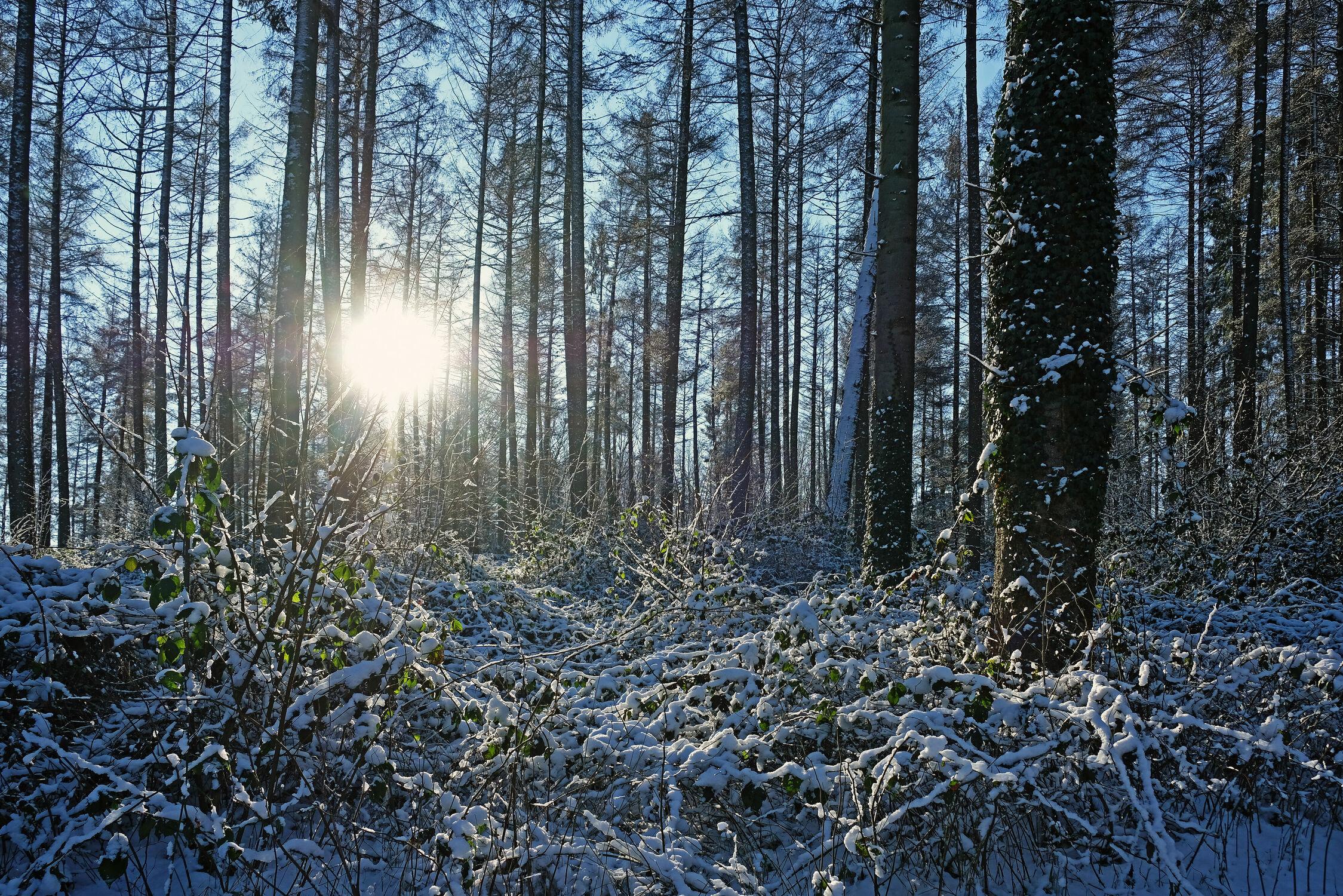 Bild mit Bäume, Schnee, Sträucher, Sonne, Abendsonne, Winterwald, Brombeeren