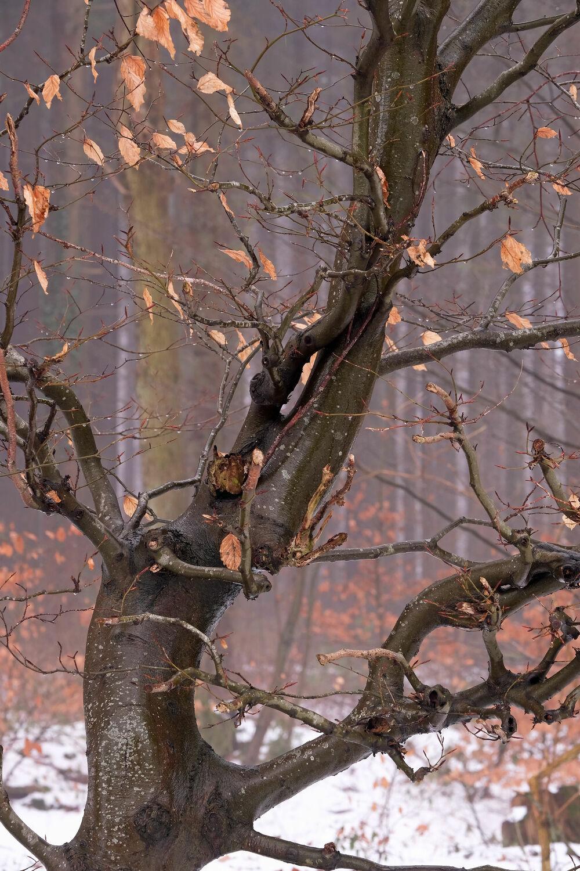 Bild mit Winter, Schnee, Blätter, Waldrand, Wassertropfen, Buche, Tropfen, Tauwetter, Sprößling