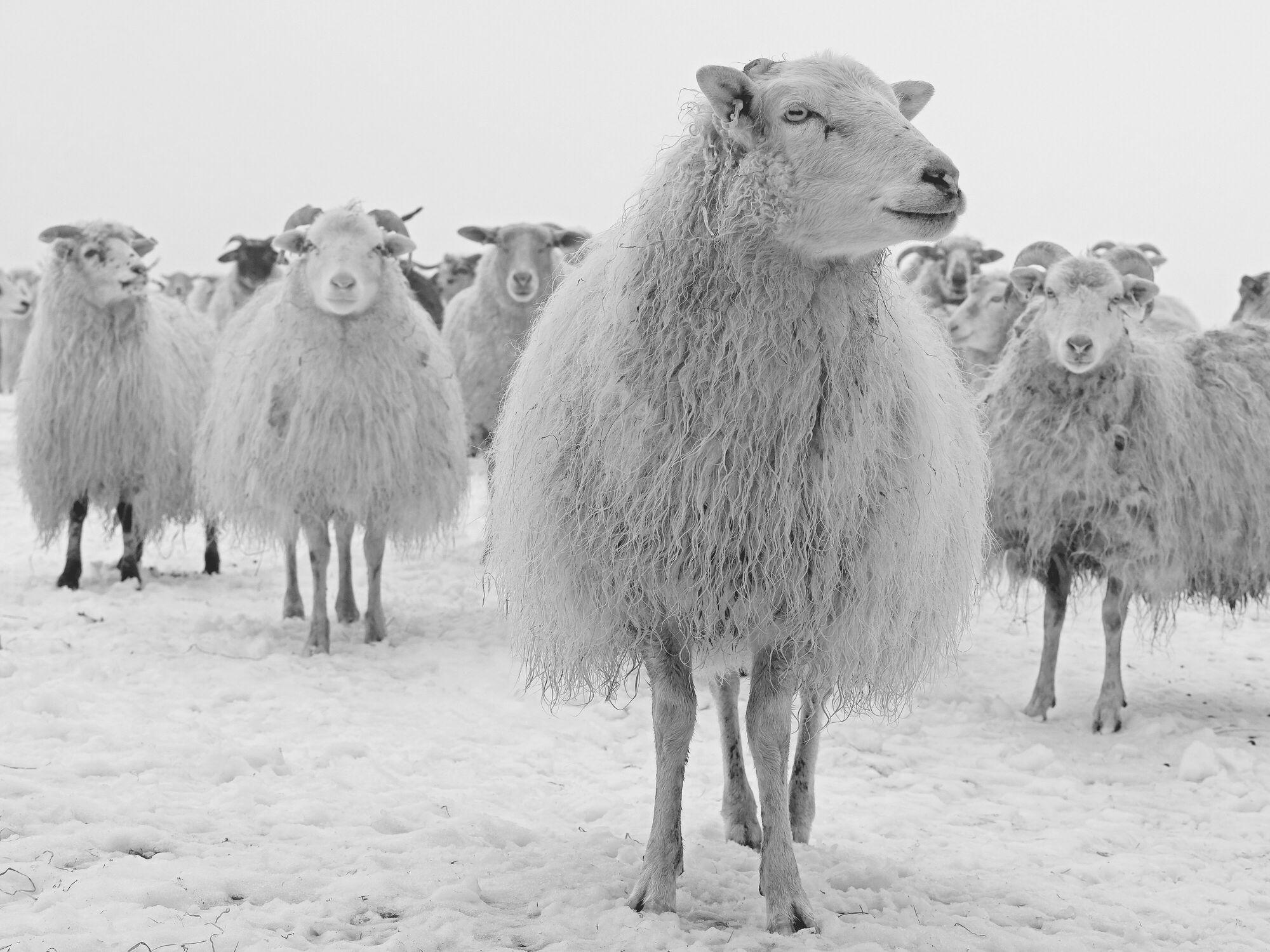 Bild mit Säugetiere, Winter, Schnee, Schafe, Kälte, familie, wolle, Schwarzweiß, Leithammel, Boss