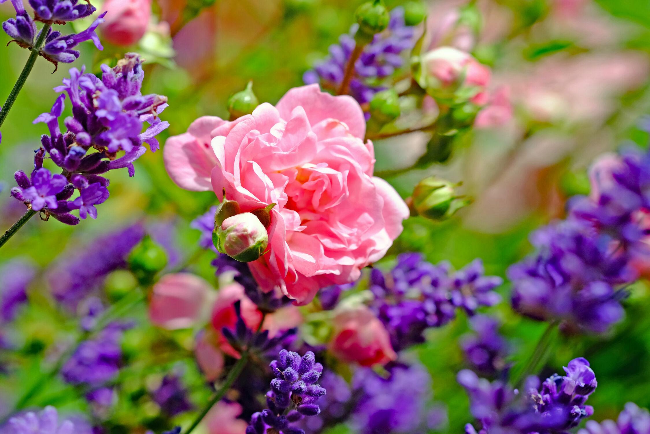 Bild mit Frühling, Herbst, Rosen, Lavendel, Sommer