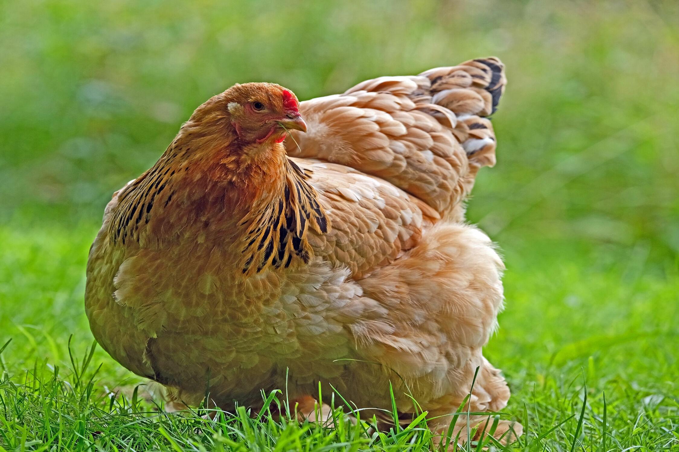 Bild mit Gräser, Nahrung, Huhn, Henne, Freilaufend