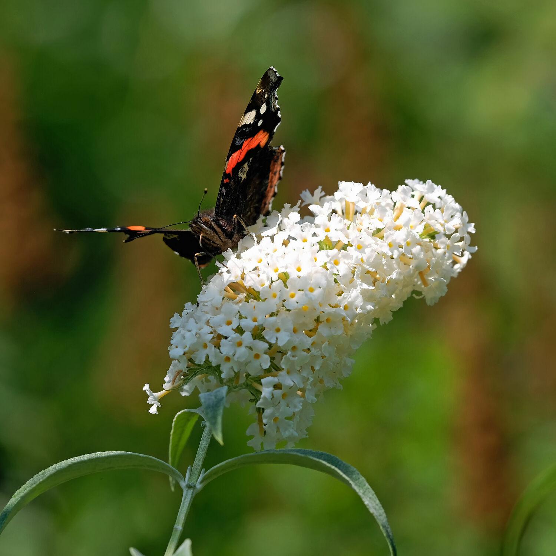 Bild mit Weiß, Insekten, Pflanze, Strauch, Schmetterling, Admiral, Schmetterlingsflieder