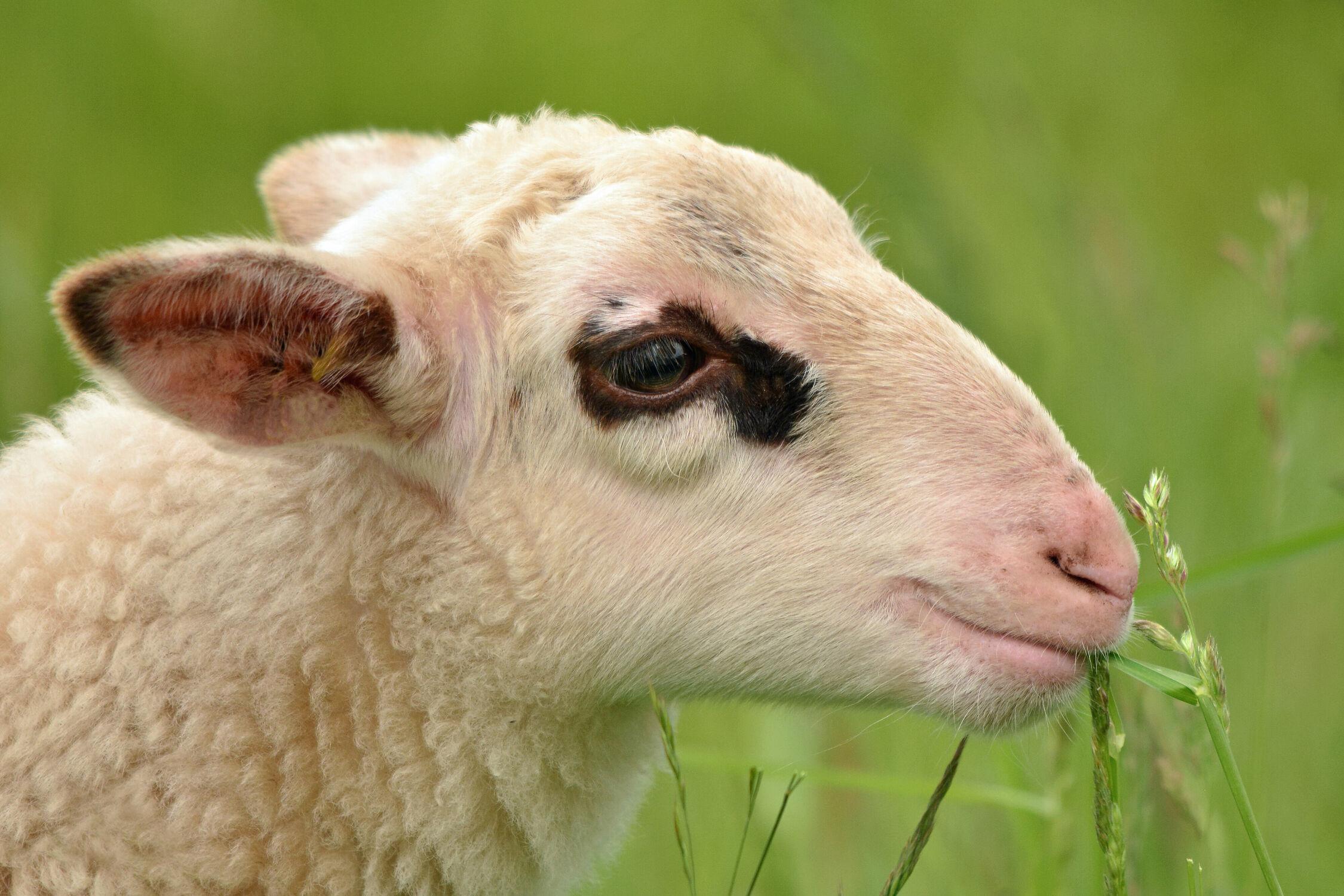 Bild mit Säugetiere, Gras, Schaf, Tierpark, Grashalme, Freizeit, Grassamen