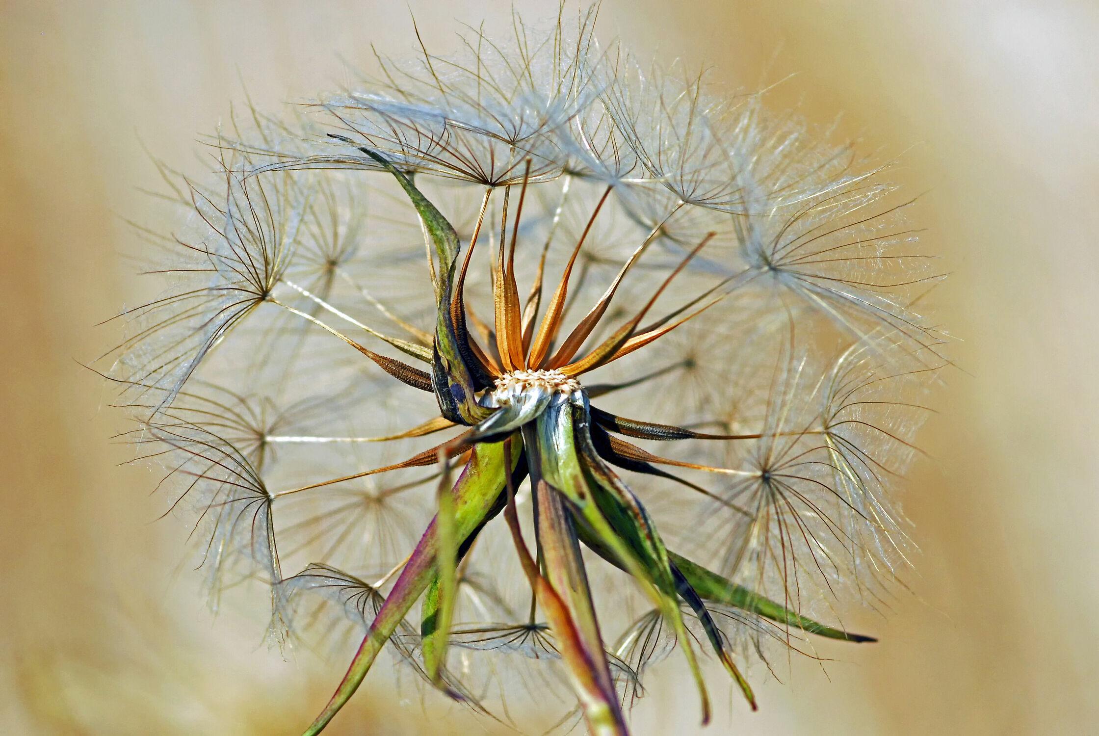Bild mit Pflanzen, Makro, Pusteblume, Felder, garten, nahaufnahme, Wiesen, Idylle, Wind, zart