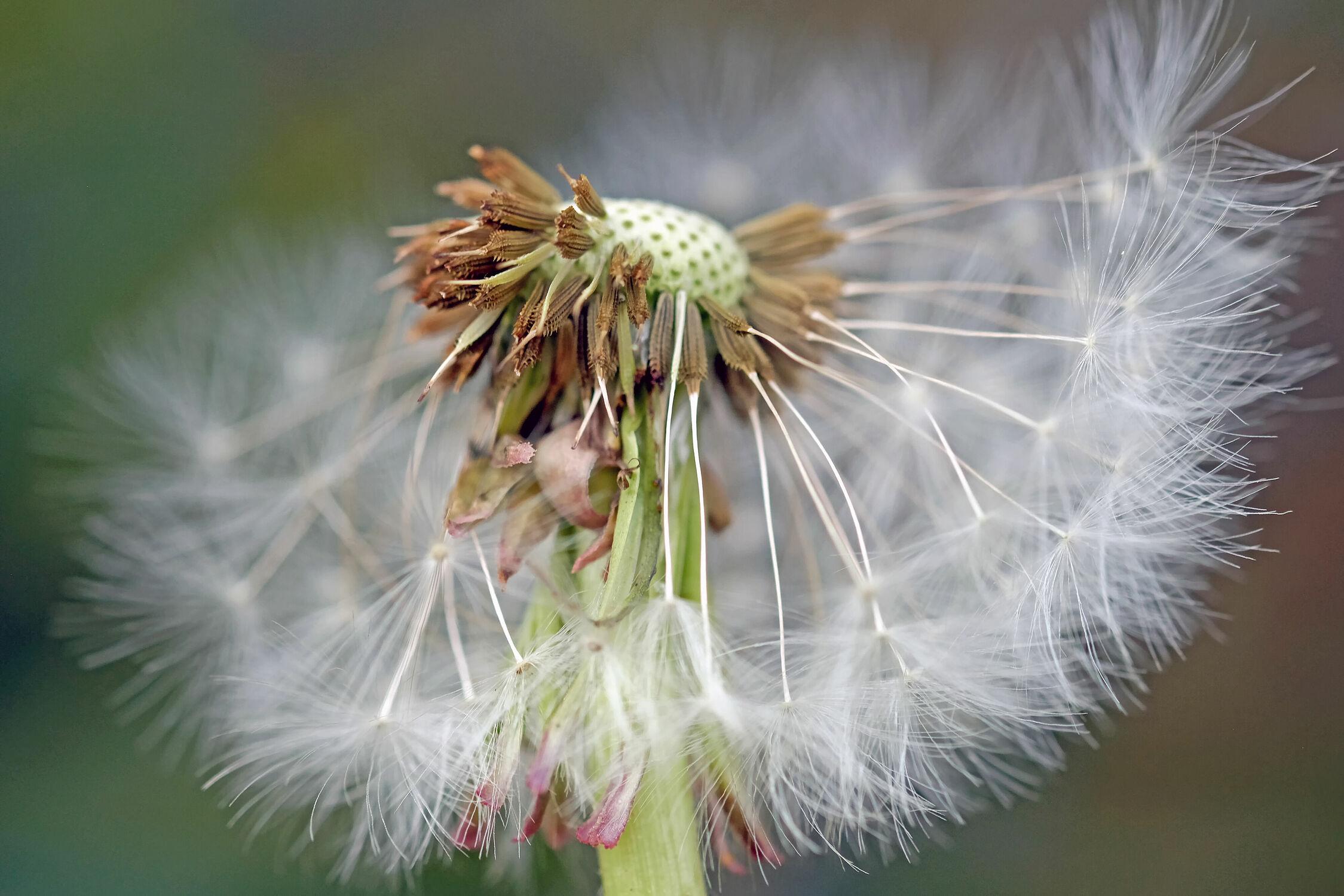 Bild mit Pflanzen, Sommer, Löwenzahn, Pusteblume, Küche, Aussaat, Salat, Verbreiterung