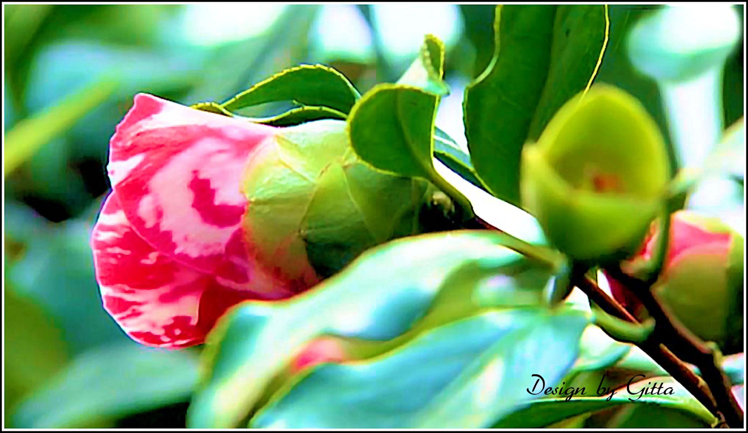 Bild mit Blumen, Rosen, Blume, Rose, Rosenblüte, blütenkompositionen, Blüten, Makrobilder, Makroaufnahmen