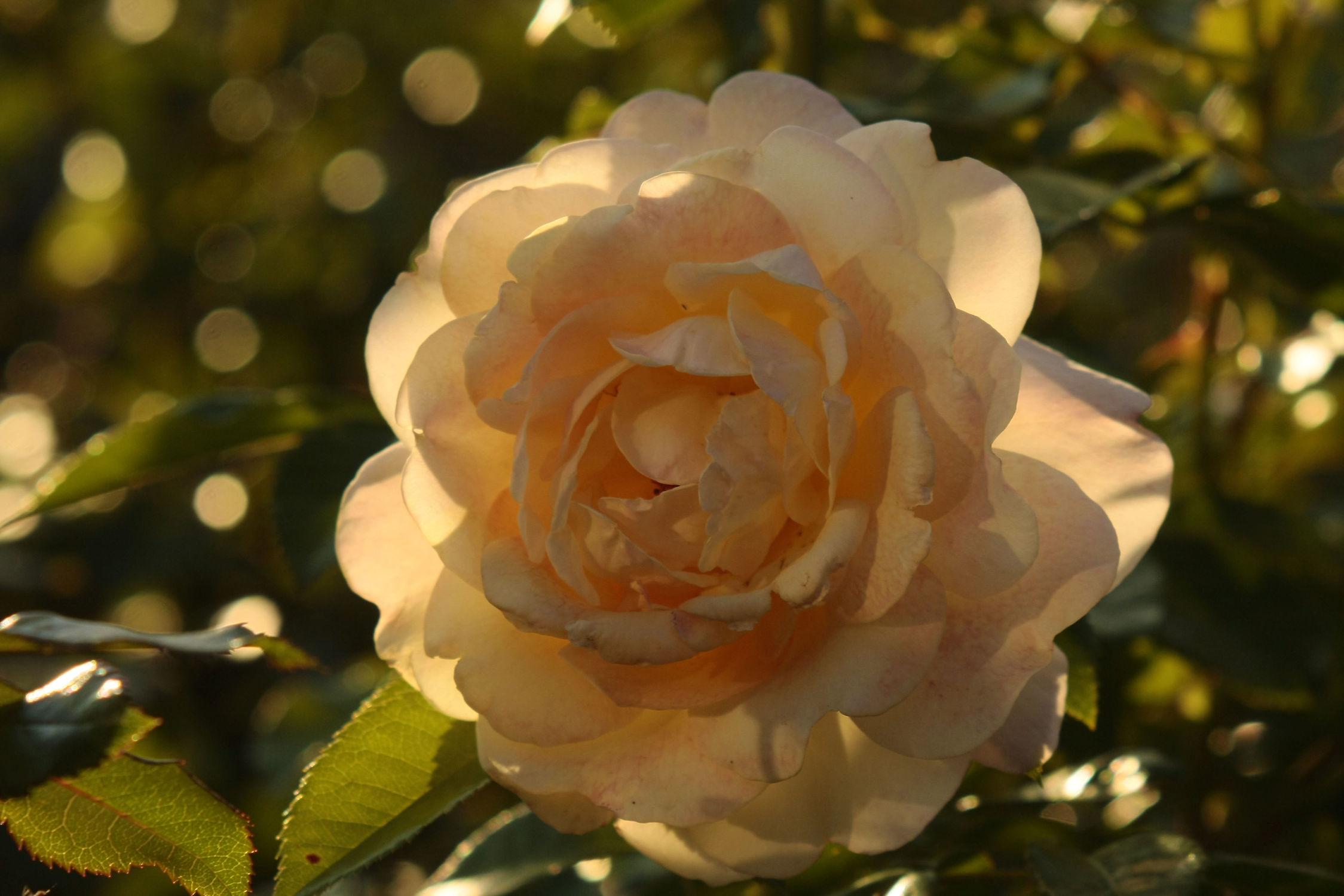 Bild mit Blumen, Rosen, Blume, Rose, romantik, Blüten, blüte, Liebe