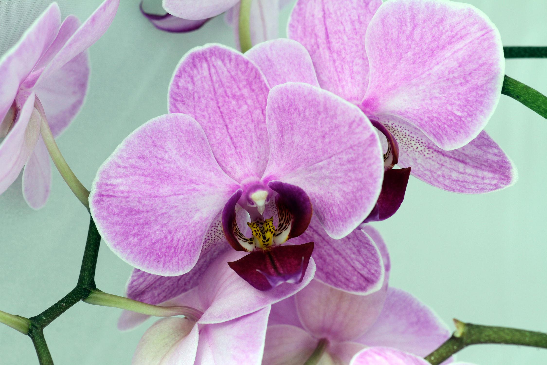 Bild mit Pflanzen, Blumen, Orchideen, Blume, Orchidee, Pflanze, Makro, Makros