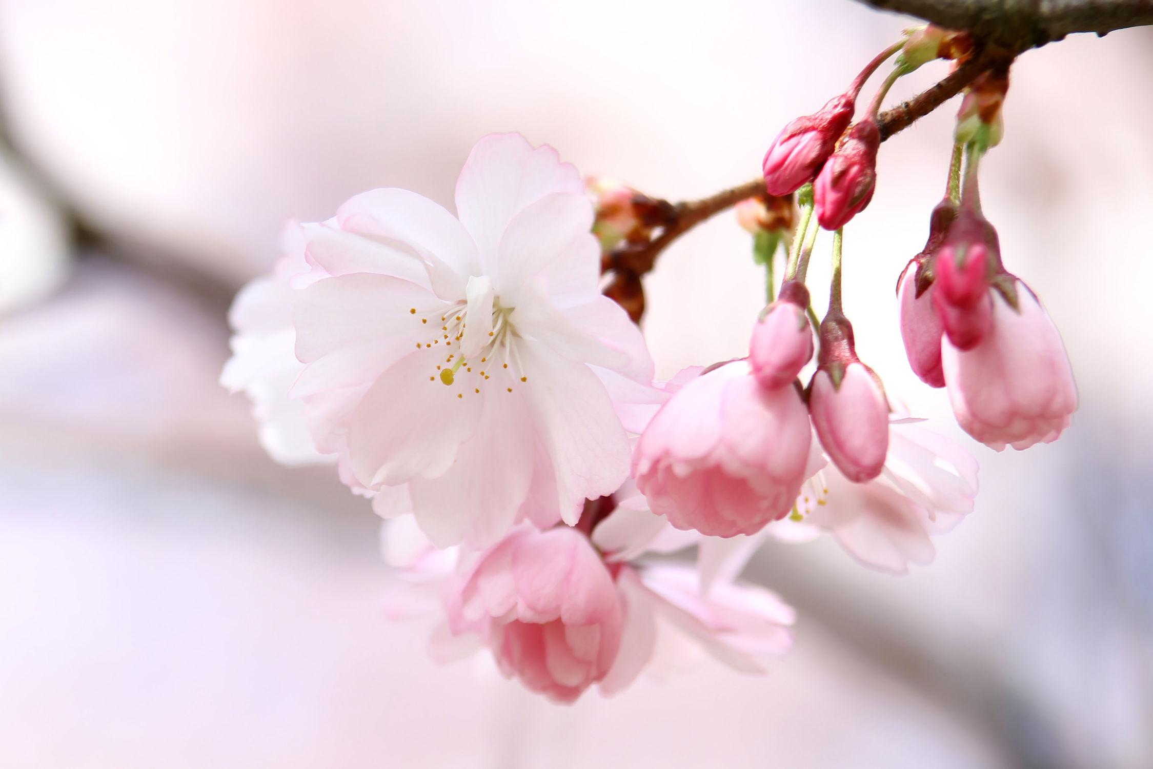Bild mit Natur, Pflanzen, Blumen, Blumen, Blume, Pflanze, Kirschblüten, Kirsche, Wellness, Umwelt, Kirschblüte