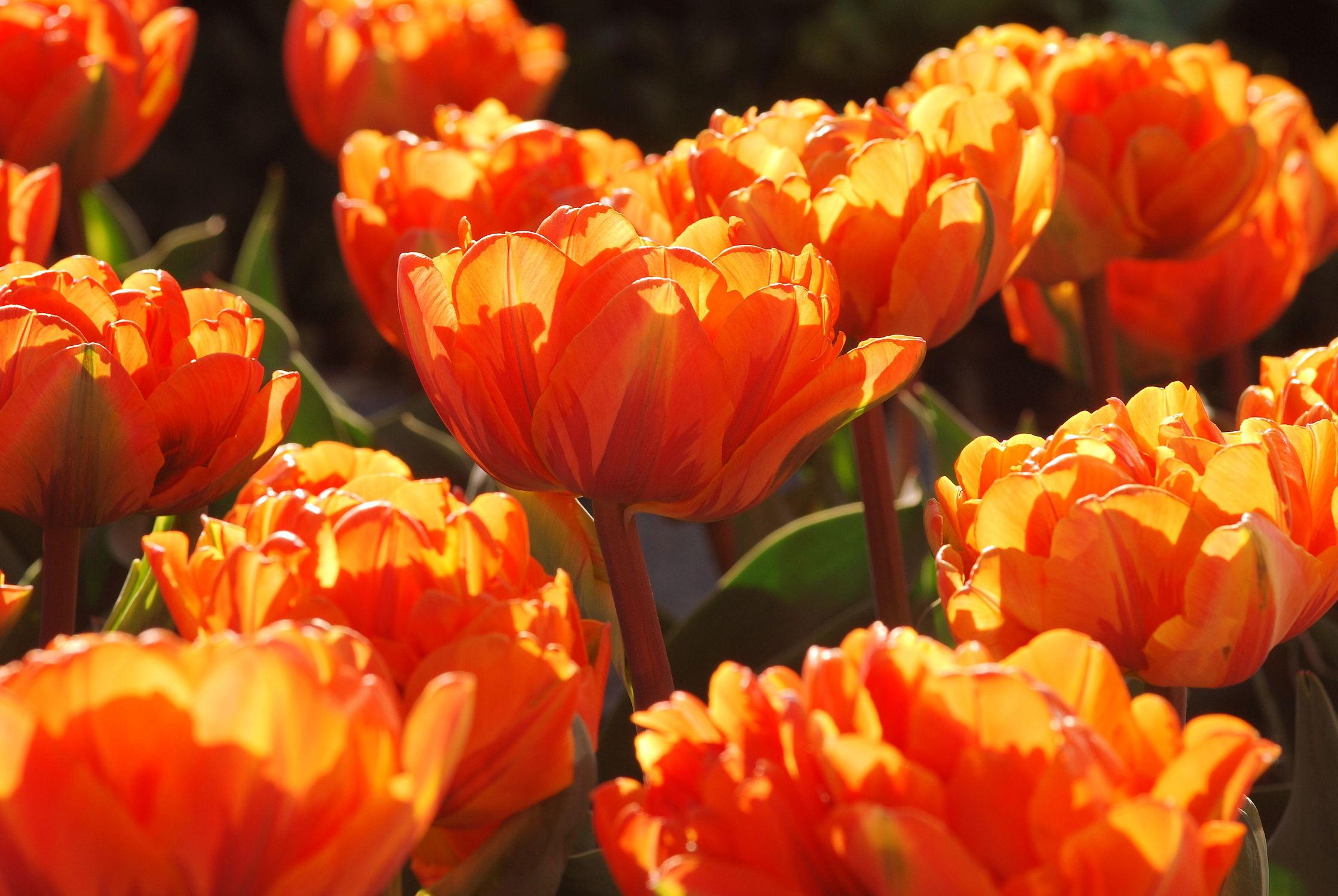 Bild mit Orange, Gelb, Frühling, Rot, Tulpe, Tulips, Tulpen, Tulip, orangerot, intensiv, farbenfroh, leuchtend, tulpenpracht, tulpenbeet, frühblüher, frühjahr