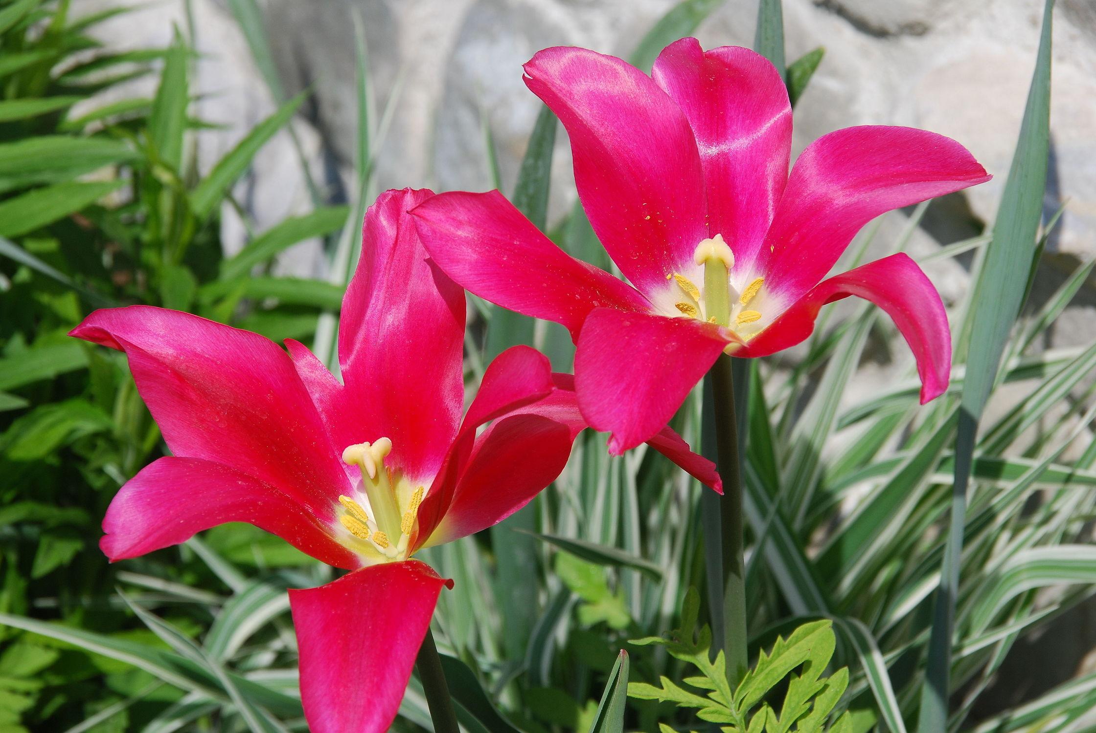 Bild mit Frühling, Tulpe, Tulips, Tulpen, Tulip, leuchtend, tulpenpracht, tulpenbeet, frühblüher, frühjahr