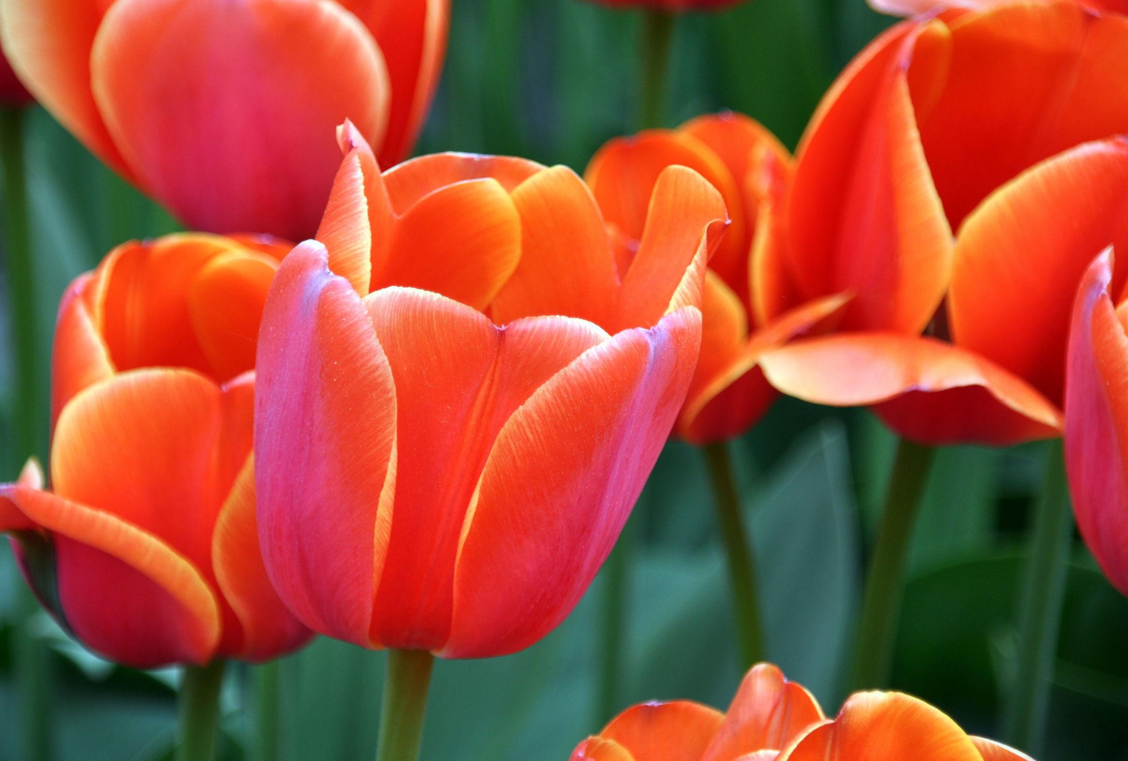 Bild mit Orange, Frühling, Rot, Tulpe, Tulips, Tulpen, Tulip, orangerot, intensiv, farbenfroh, leuchtend, tulpenpracht, tulpenbeet, frühblüher, frühjahr