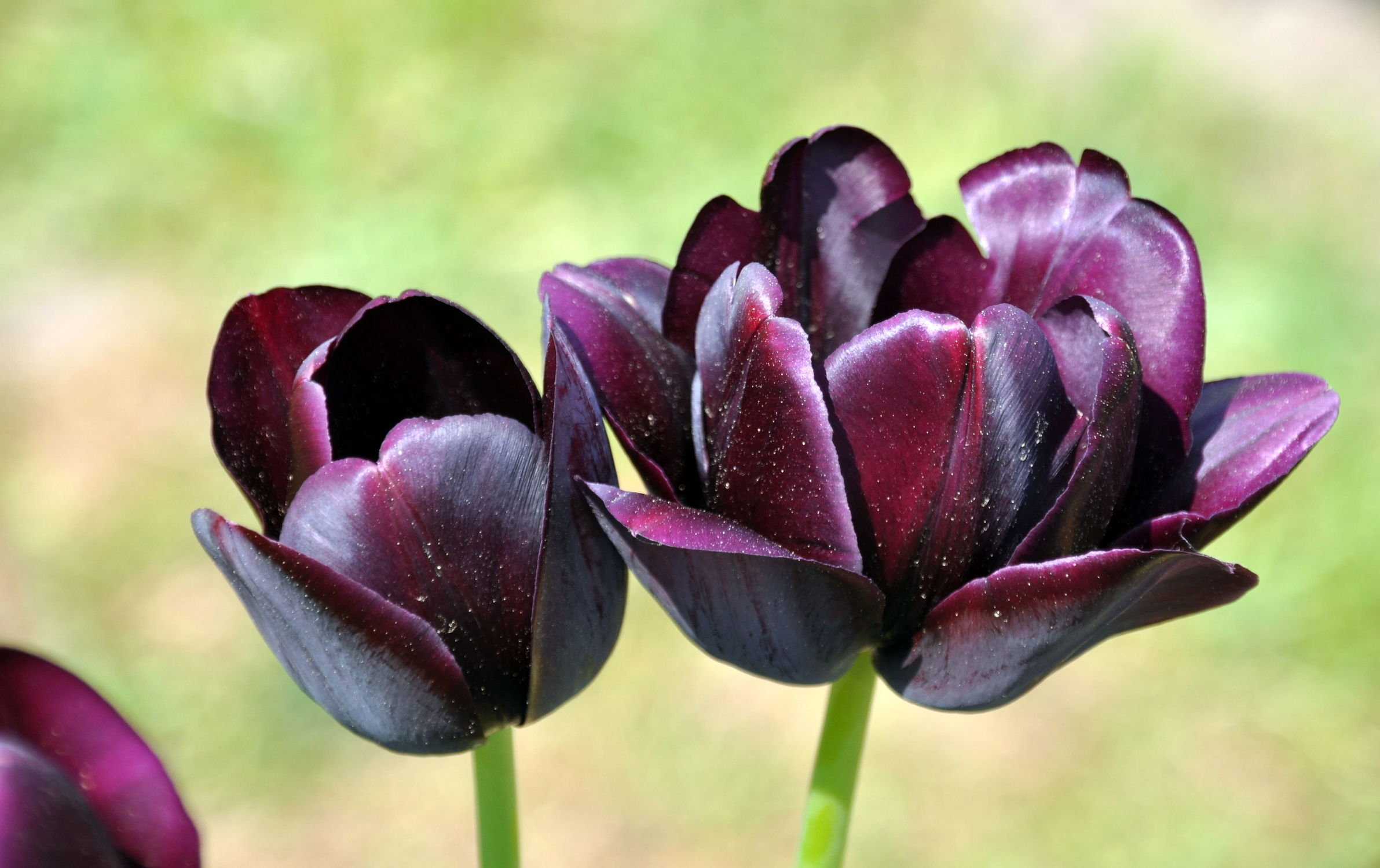 Bild mit Frühling, Tulpe, Tulips, Tulpen, Tulip, Blüten, intensiv, farbenfroh, leuchtend, tulpenpracht, tulpenbeet, frühblüher, frühjahr, zwei, duo, anders, besonders, dunkel