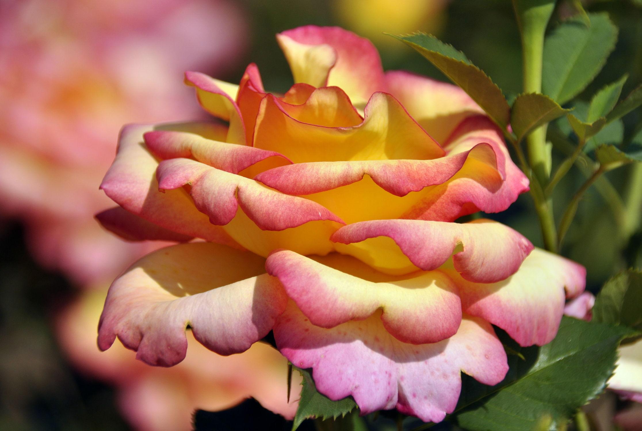 Bild mit Rosen, Rose, Roses, Schönheit, blüte, beetrose, edelrose, edel