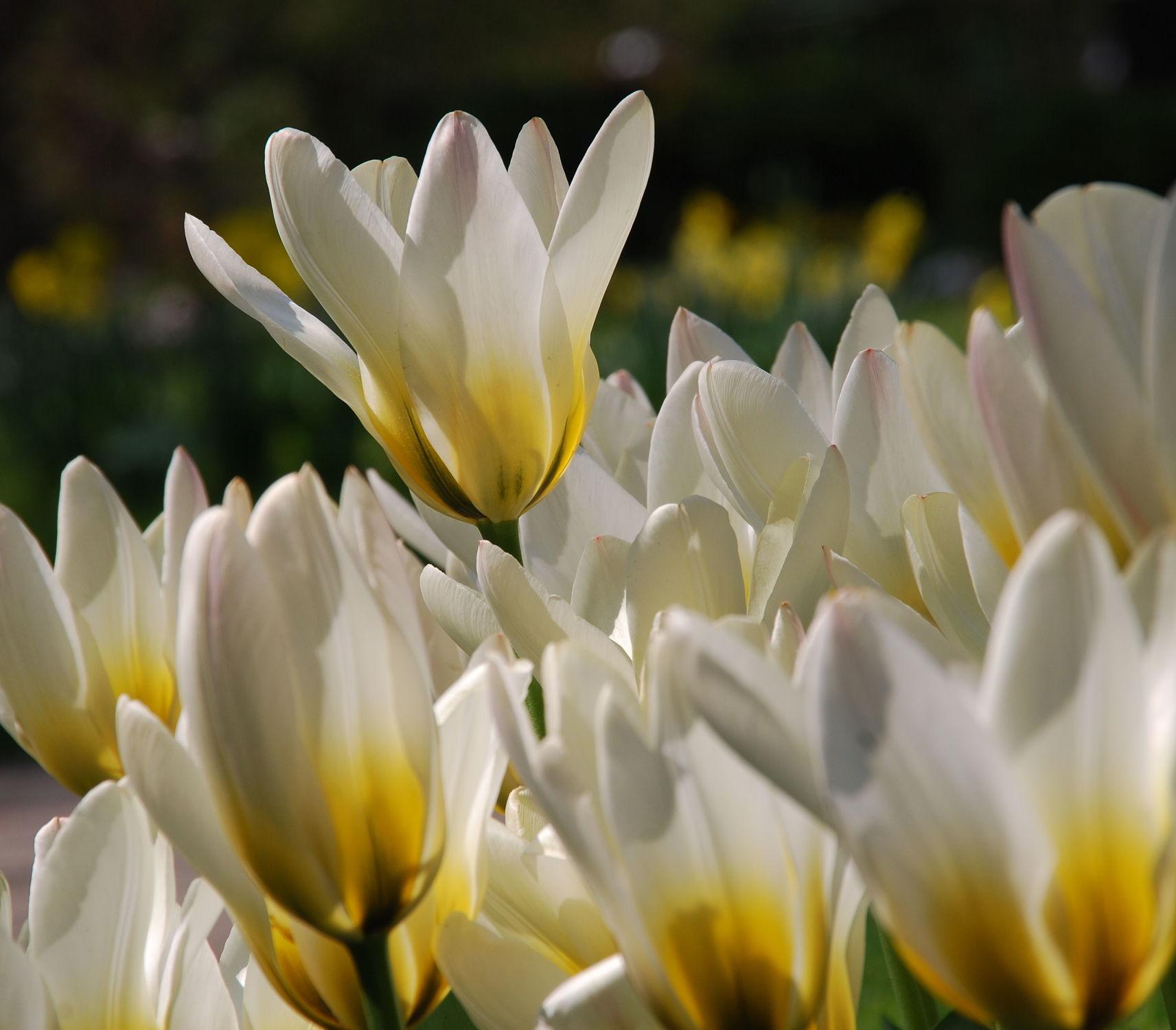 Bild mit Frühling, Tulpe, Tulips, Tulpen, weiss, Tulip, tulpenbeet, frühblüher, frühjahr, Deko, dekorativ, weisse tulpen