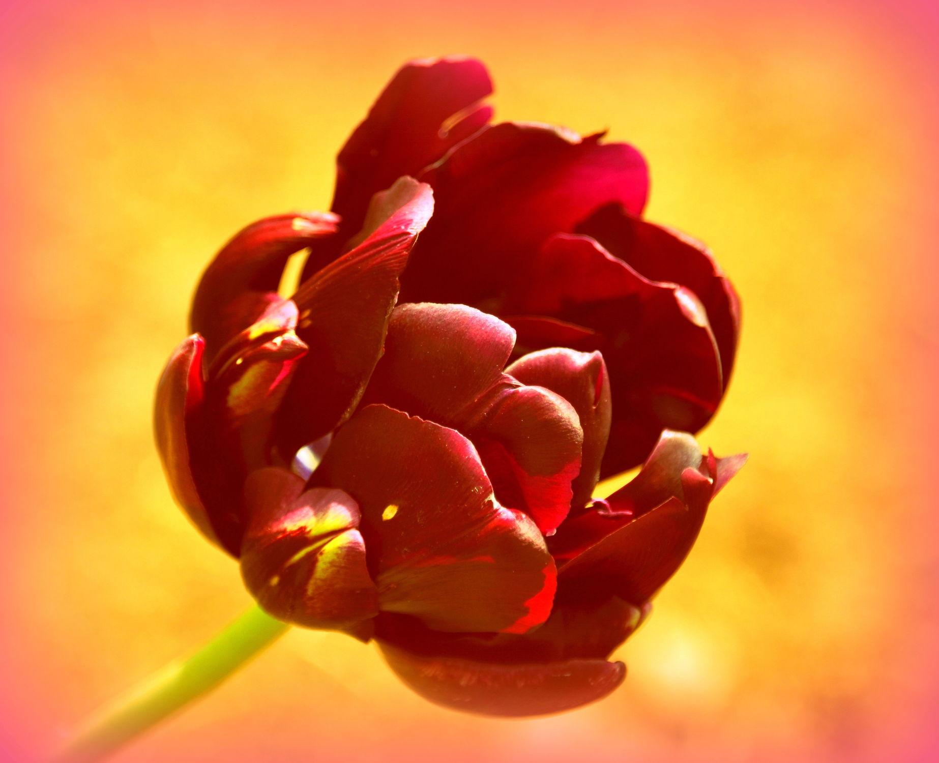 Bild mit Tulpe, Tulpen, warm, Deko, dekorativ, wandschmuck, digital bearbeitet, tulpenblüte, Poesie