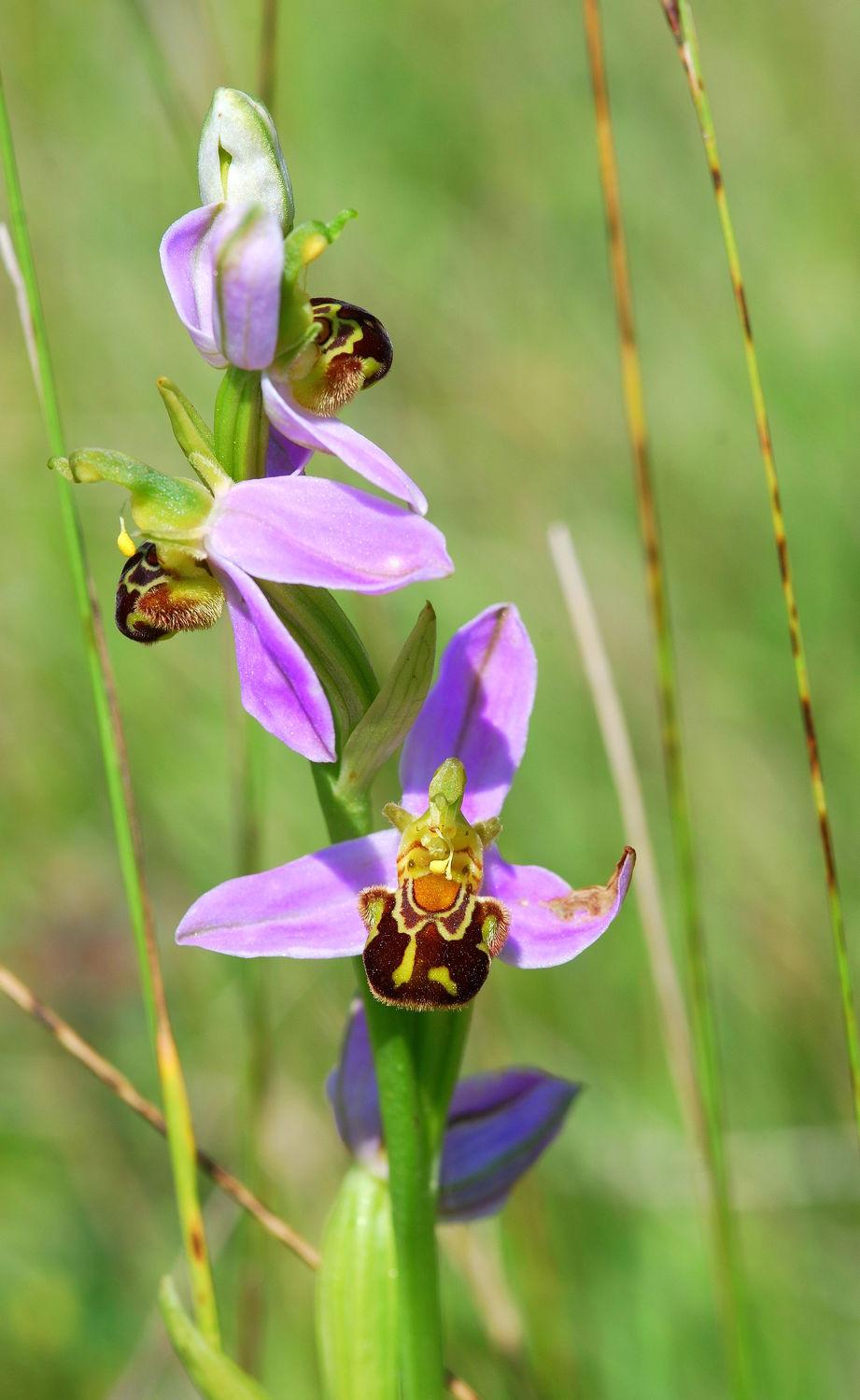 Bild mit Bienen, Orchideen, Orchidee, Wiese, Blütenreich, pink, zart, orchideenblüte, heimische orchidee, bienenragwurz, ragwurz, ragwurz
