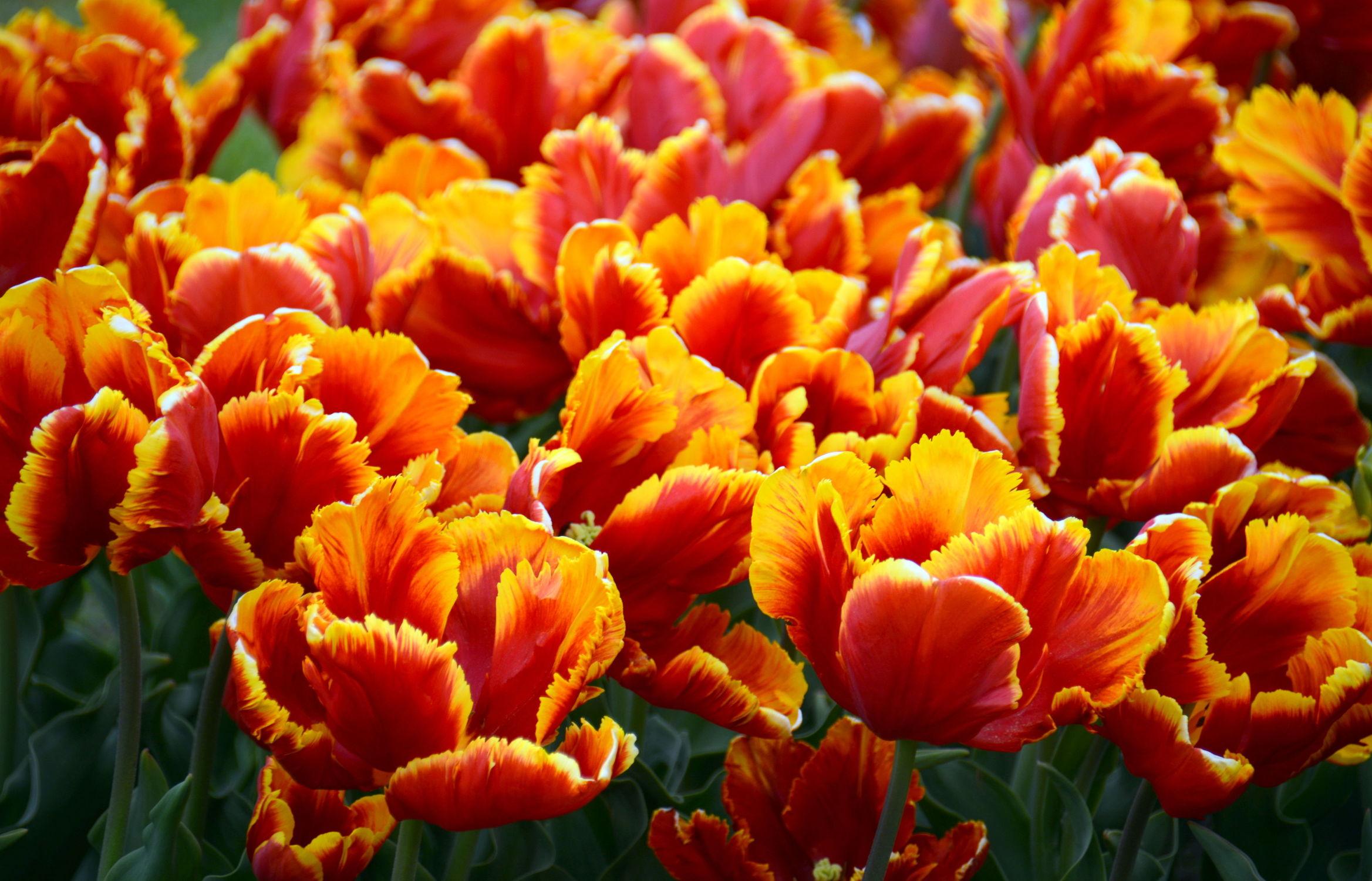 Bild mit Orange, Gelb, Frühling, Rot, Tulpe, Tulips, Tulpen, Tulip, Tapete, Blütenreich, wandtapete, fototapete, intensiv, tulpenbeet, frühblüher, frühjahr, tulpenmeer, tulpenblüten, tulpenblüte, vielblütig, tulpenfeld, feurig