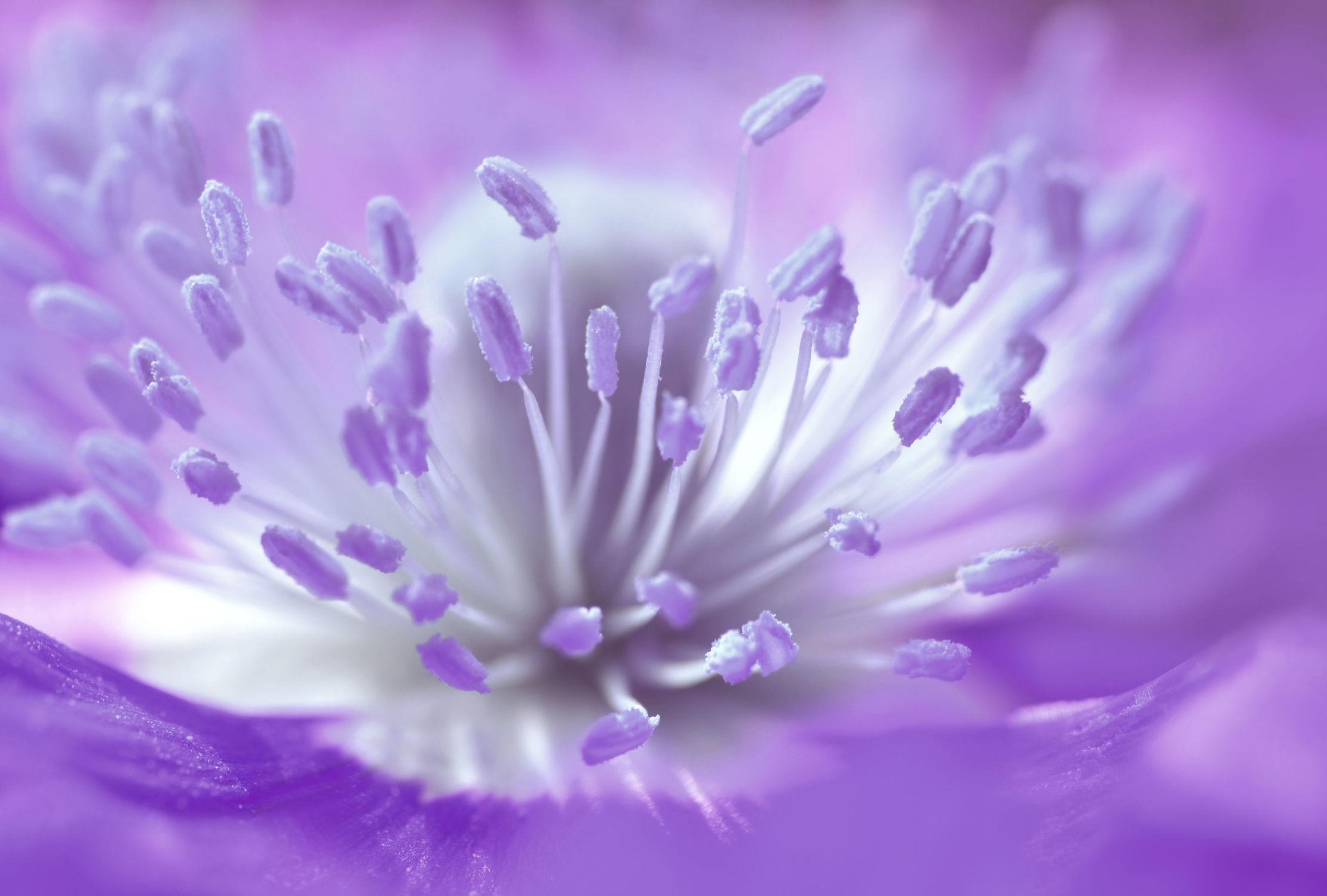 Bild mit Pflanzen, Blumen, Lila, Violett, Frühling, Mohn, Makroaufnahme, Blume, Pflanze, Mohnblume, Klatschmohn, Makro, Mohnblüte, Blumen und Pflanzen, Flora, Mohnblumen, blüte, detail, dekorativ
