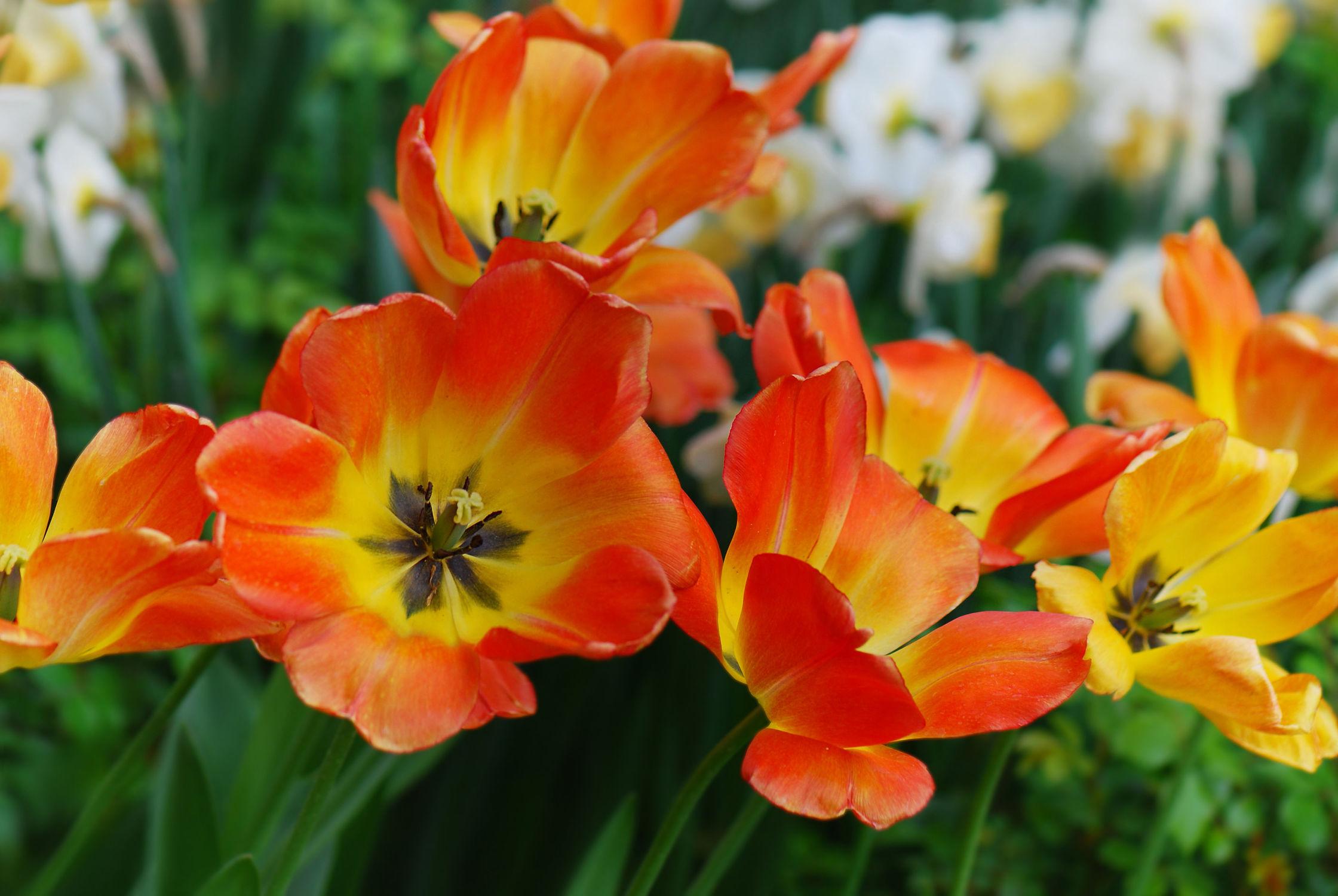Bild mit Gelb, Pflanzen, Blumen, Frühling, Rot, Makroaufnahme, Blume, Makro, Tulpe, Tulpen, frühlingsblumen, dekorativ, tulpenwiese