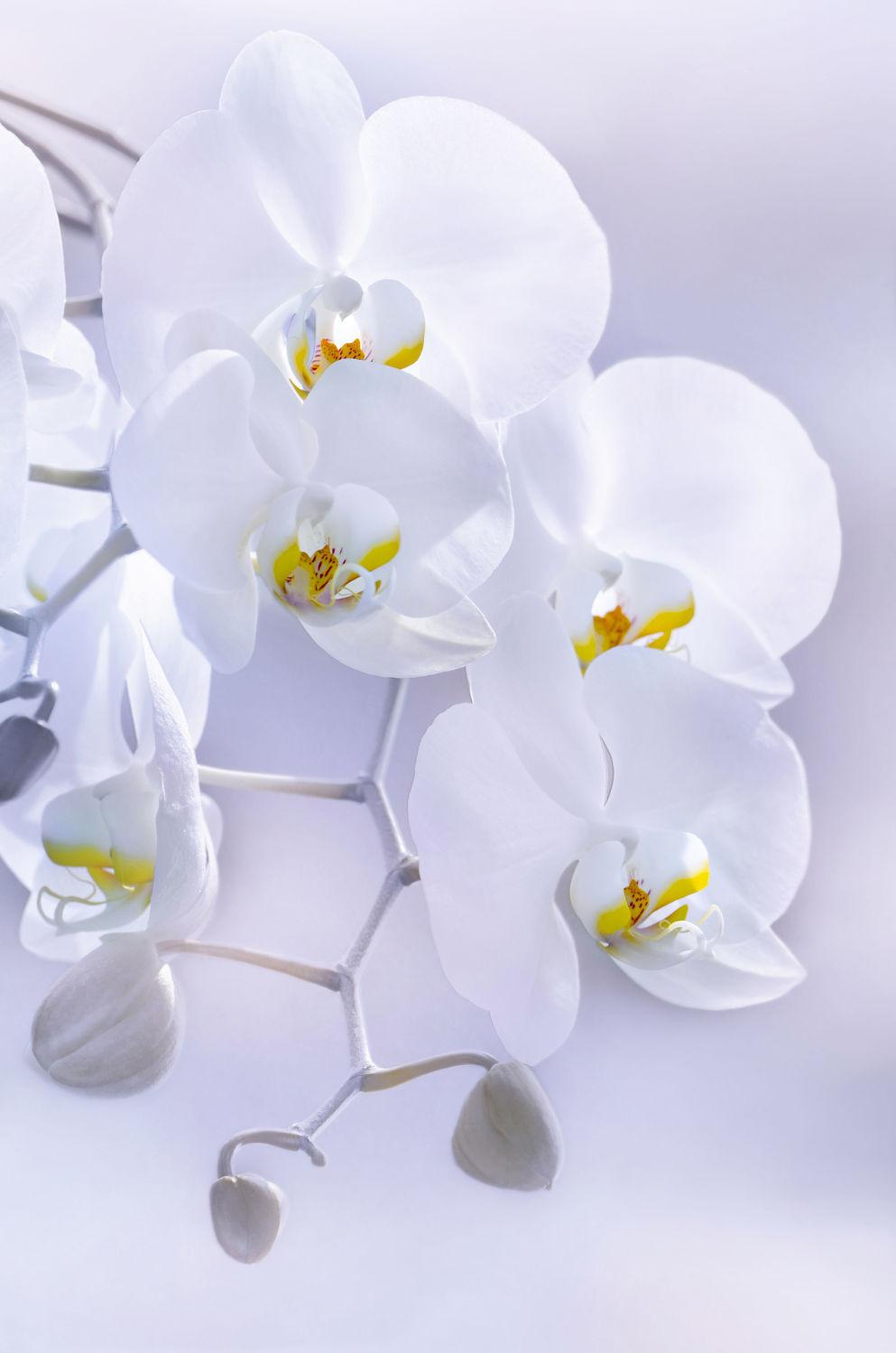 Bild mit Natur, Pflanzen, Blumen, Orchideen, Blume, Orchidee, Pflanze, Makro, Blüten, blüte, orchideenblüte, orchideenblüten