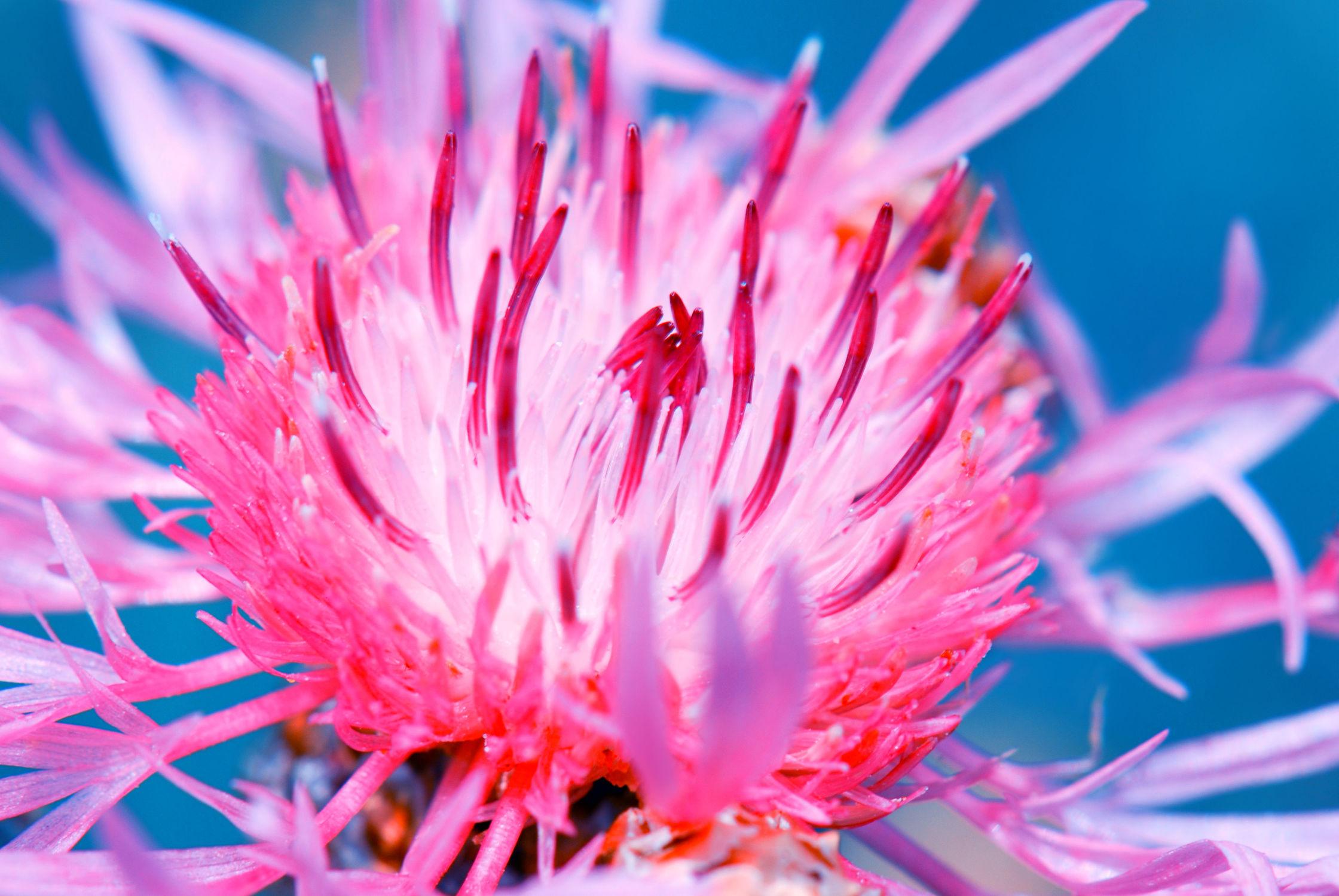 Bild mit Pflanzen, Pflanzen, Blumen, Blumen, Sommer, Blume, Pflanze, Floral, Flora, blüte, nahaufnahme, Deko, dekorativ, flockenblume