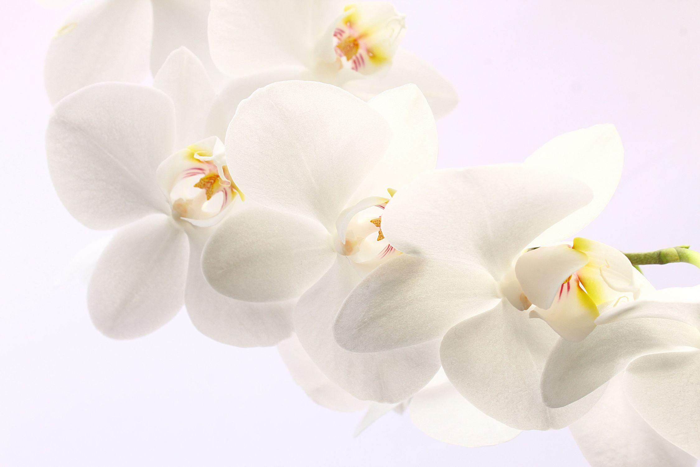 Bild mit Blumen, Weiß, Blume, Orchidee, Schönheit, Ast, Blumenbild, Zweig, orchideenbild