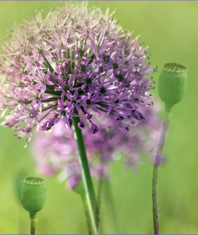 Bild mit Blumen, Mohn, Mohnblume, Distel, Sterne, Blumenbild, sternenblume, kapseln, mohnkapseln