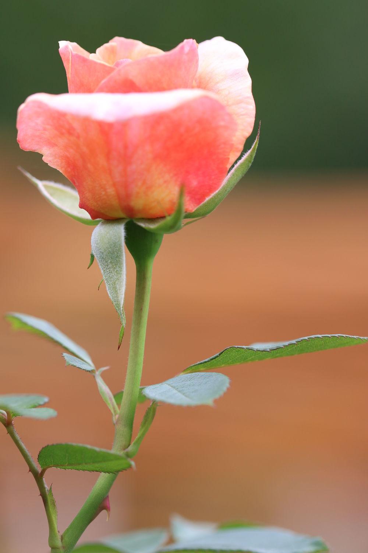 Bild mit Blumen, Rosen, Blume, Rose, Makro, Blüten, Makroaufnahmen, blüte, Blumenblüten, Blumenfeld, blumenfelder