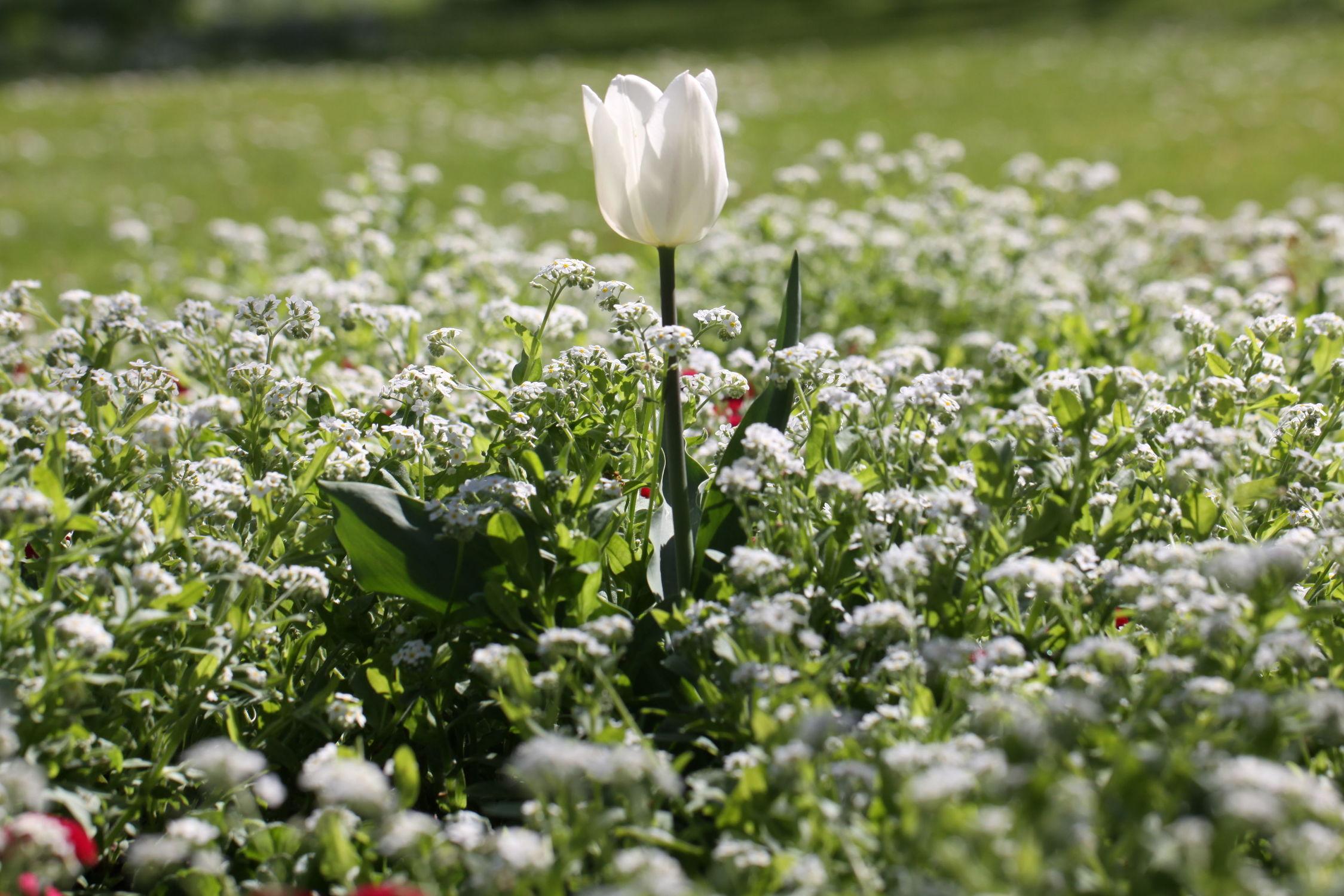 Bild mit Blumen, Blume, Makro, Tulpe, Tulpen, Blüten, Makroaufnahmen, blüte, Blumenblüten, Blumenfeld, blumenfelder