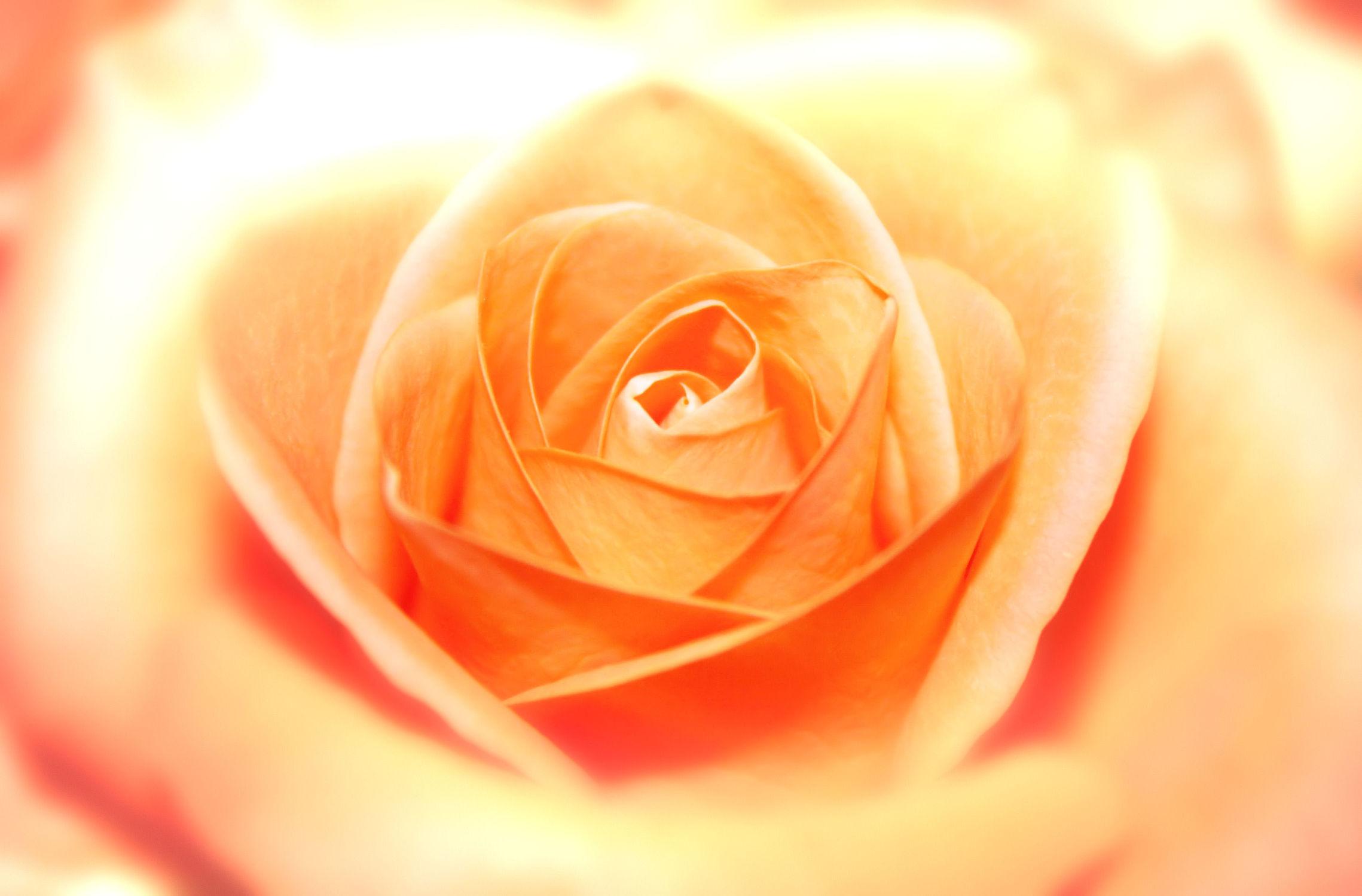 Bild mit Orange, Pflanzen, Blumen, Rosen, Blume, Pflanze, Rose, romantik, Blüten, blüte, Glück