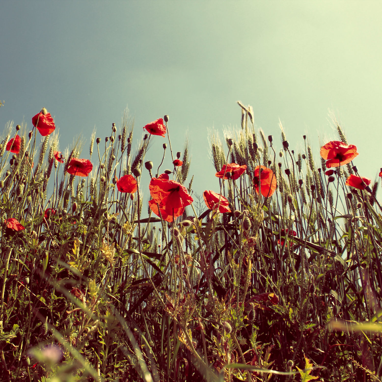 Bild mit Blumen, Mohn, Blume, Mohnblume, Mohnfeld, Feld, Felder, Blüten, Mohnblumen, Mohnblumenfeld