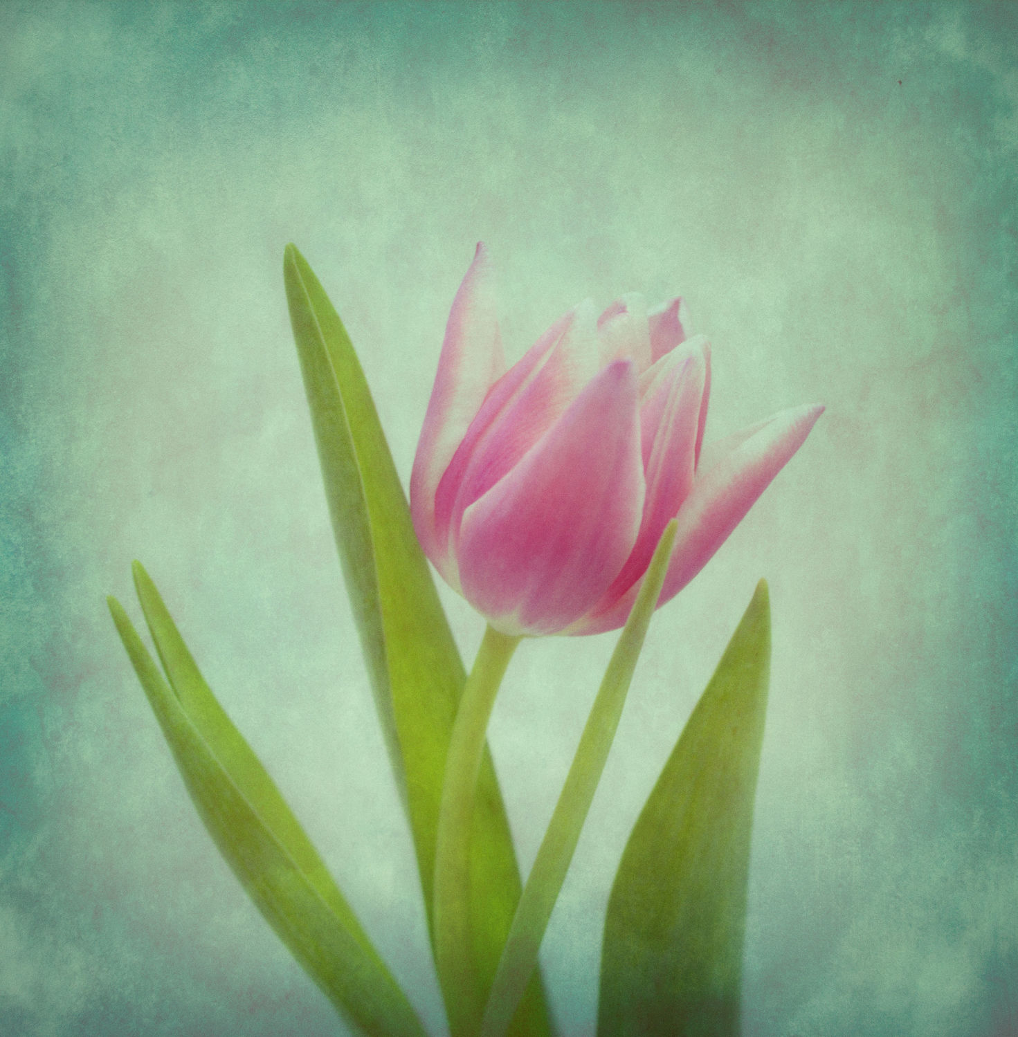 Bild mit Blumen, Tulpe, Tulips