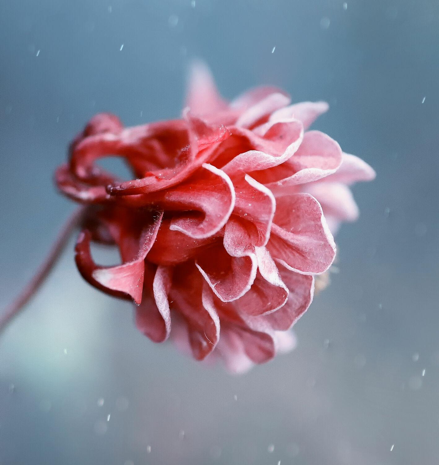 Bild mit Natur, Makrofotografie, Makroaufnahme, Blume, Akelei