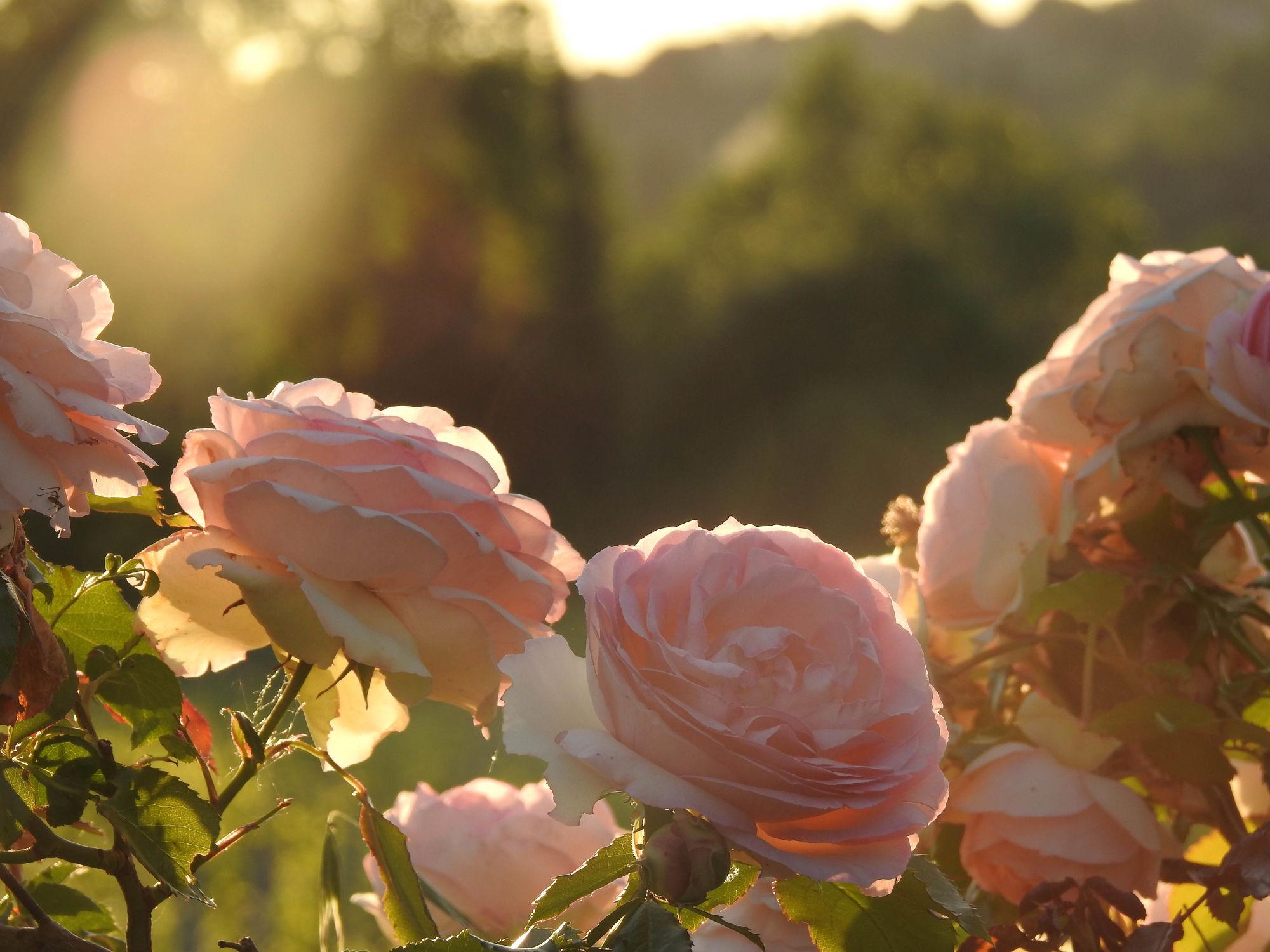Bild mit Pflanzen, Blumen, Rosen, Sonnenschein, Blume, Pflanze, Rose, Roses, Pflanze für Schönheit und Gesundheit, Sonnenstrahlen, Sonnenlicht