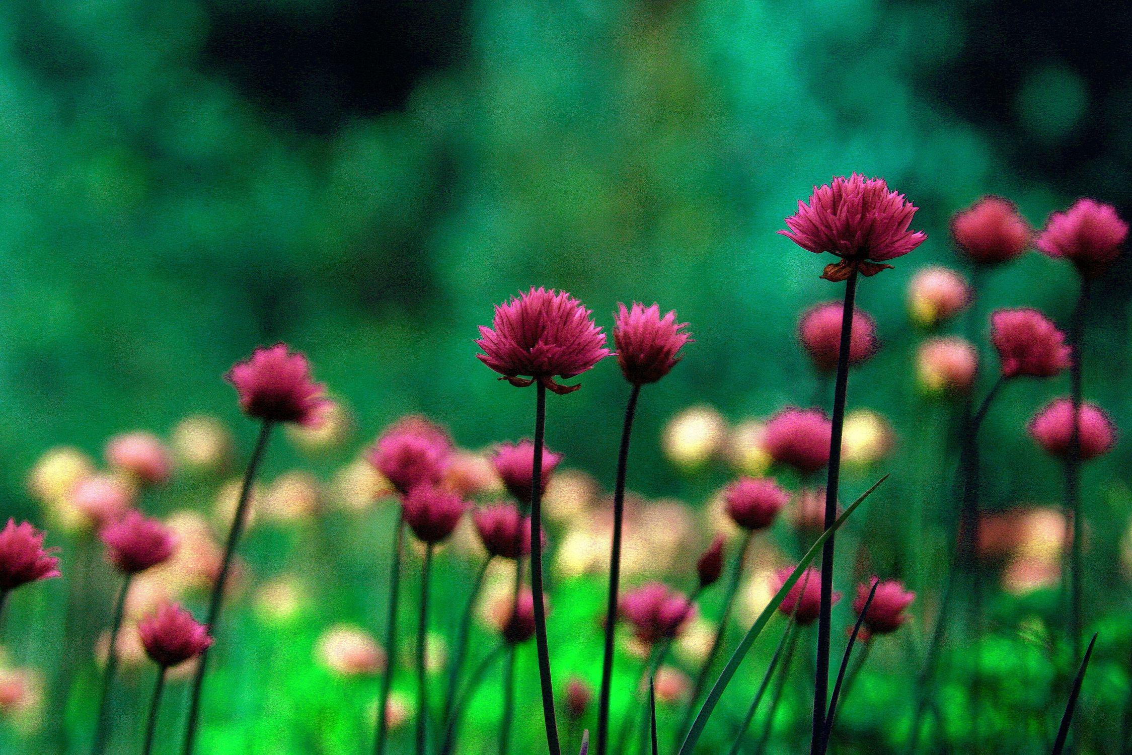 Bild mit Grün, Pflanzen, Blumen, Rosa, Violett, Kräuter, Nutzpflanzen, Blume, Pflanze, Plant, Food, Planten und Blomen, Landscape & Nature, garten, Schnittlauch, garden, health, allium