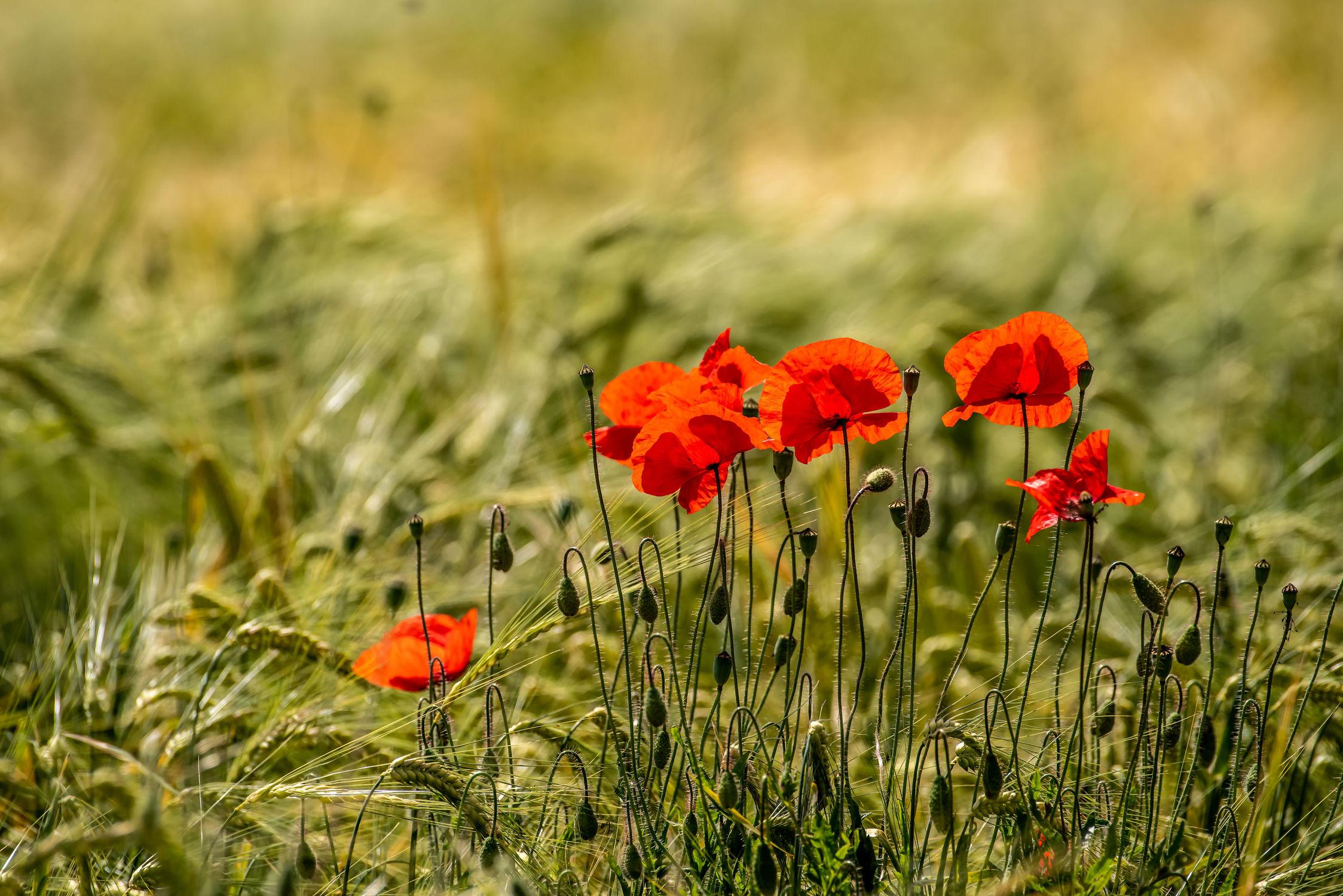 Bild mit Natur, Pflanzen, Jahreszeiten, Blumen, Sommer, Mohn, Klatschmohn, Wiese, Gegenlicht, Licht, Felder, Blüten, landwirtschaft, Kornfeld, Schatten, Gerste, Ackerbau, Getreideanbau