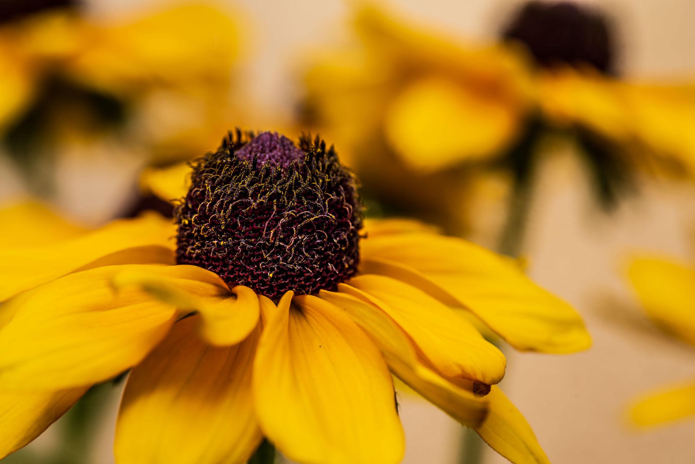 Bild mit Gelb, Sommer, Blume, Pflanze, Licht, Blüten, garten, Sonnenhut, Schatten, Wachstum, blühen