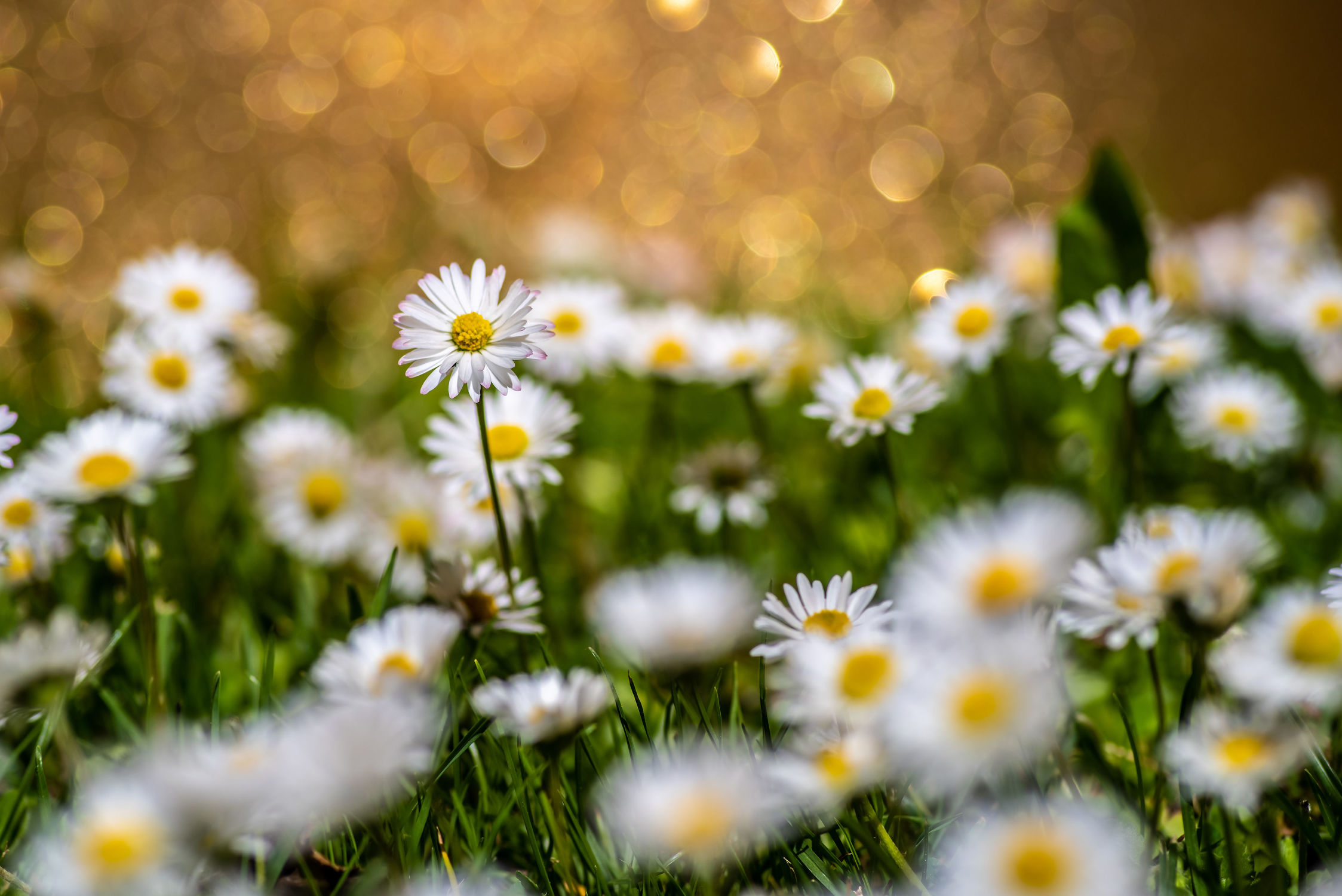 Bild mit Gelb, Natur, Grün, Weiß, Blume, Makro, Wiese, Licht, Planze, gänseblümchen, nahaufnahme, Schatten